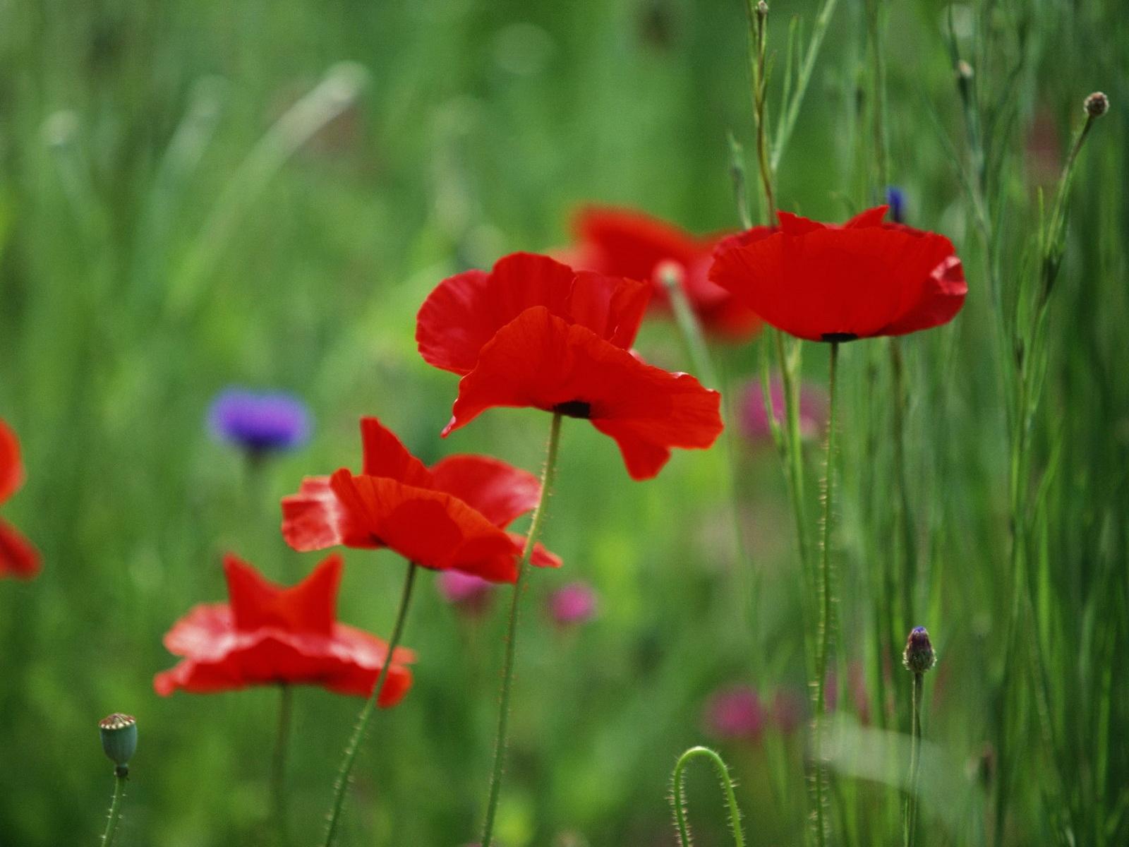 8727 скачать обои Растения, Цветы, Маки - заставки и картинки бесплатно