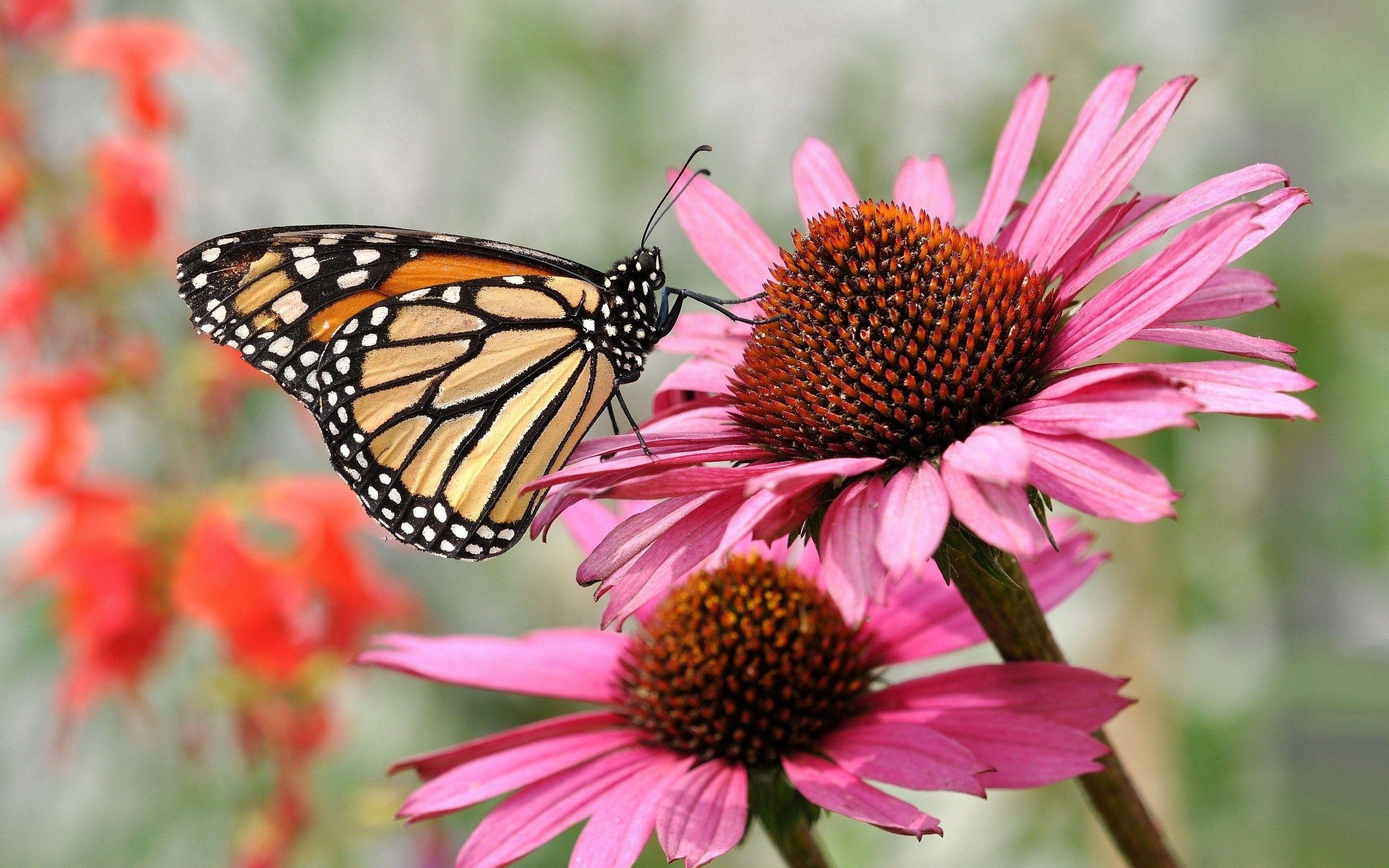 82629 Hintergrundbild 720x1280 kostenlos auf deinem Handy, lade Bilder Blume, Makro, Blütenblätter, Schmetterling 720x1280 auf dein Handy herunter
