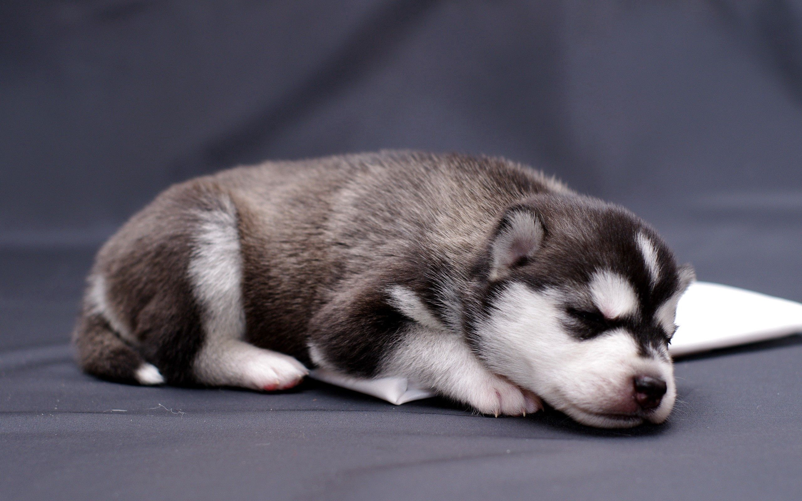 86978 download wallpaper Animals, Husky, Haska, Puppy, To Lie Down, Lie screensavers and pictures for free