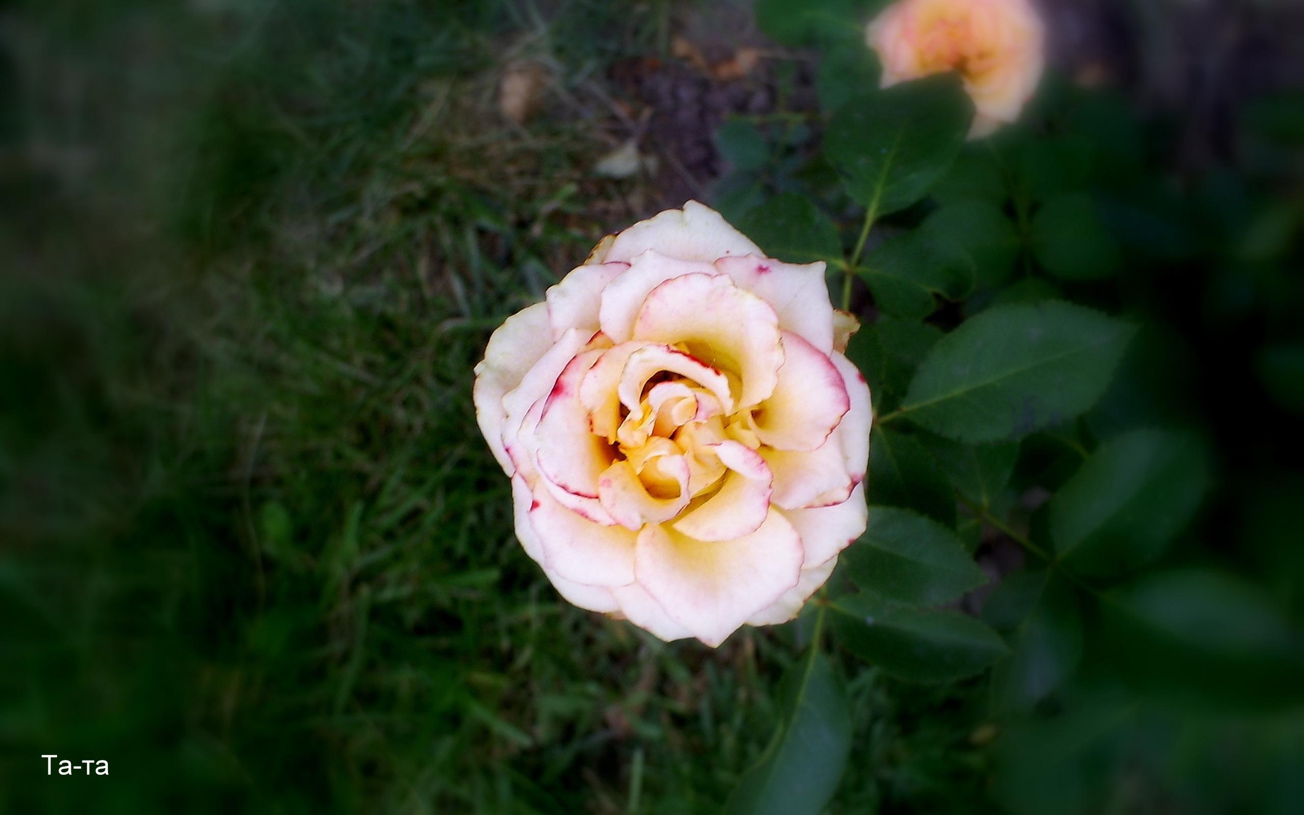 3117 скачать обои Растения, Цветы, Розы - заставки и картинки бесплатно