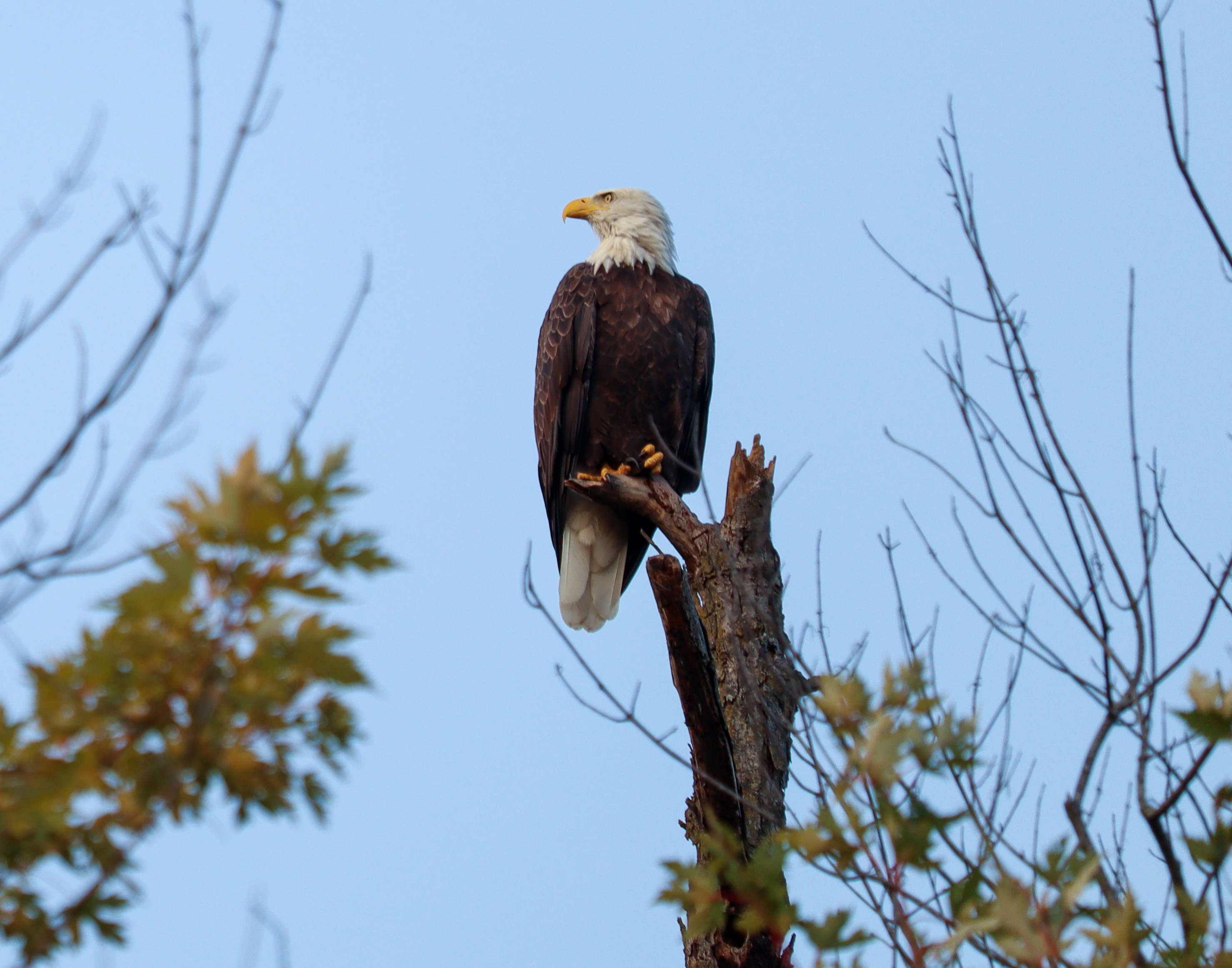 134857 download wallpaper Animals, Bald Eagle, White-Headed Eagle, Bird, Predator, Branch, Wildlife screensavers and pictures for free