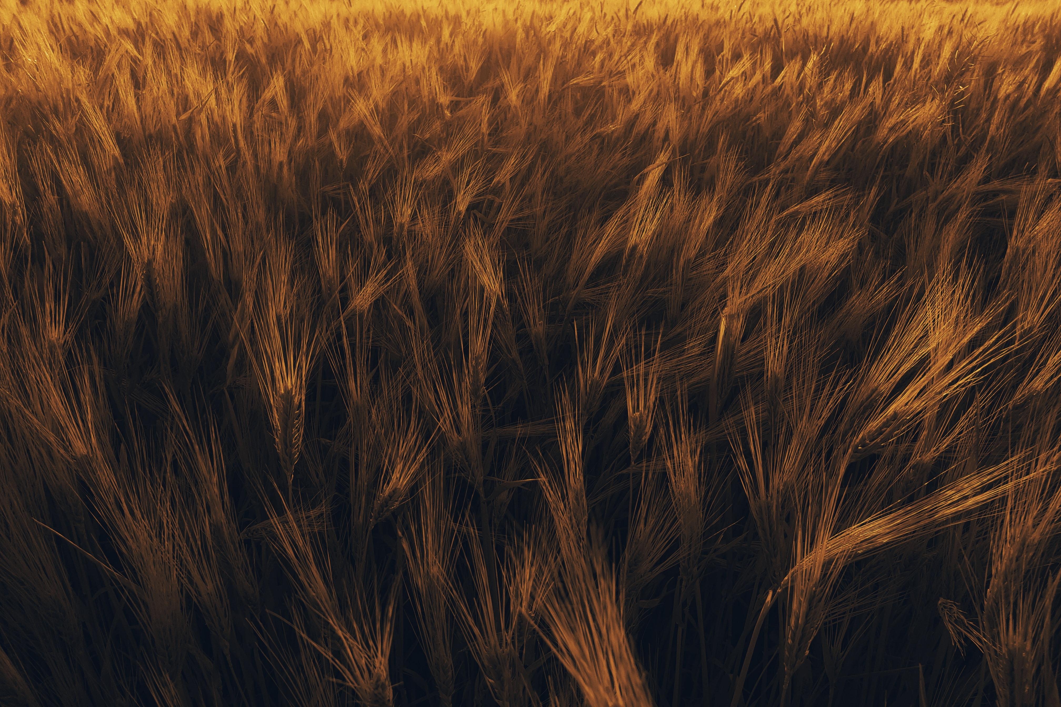 64823 скачать обои Природа, Колосья, Растение, Поле, Пшеница - заставки и картинки бесплатно