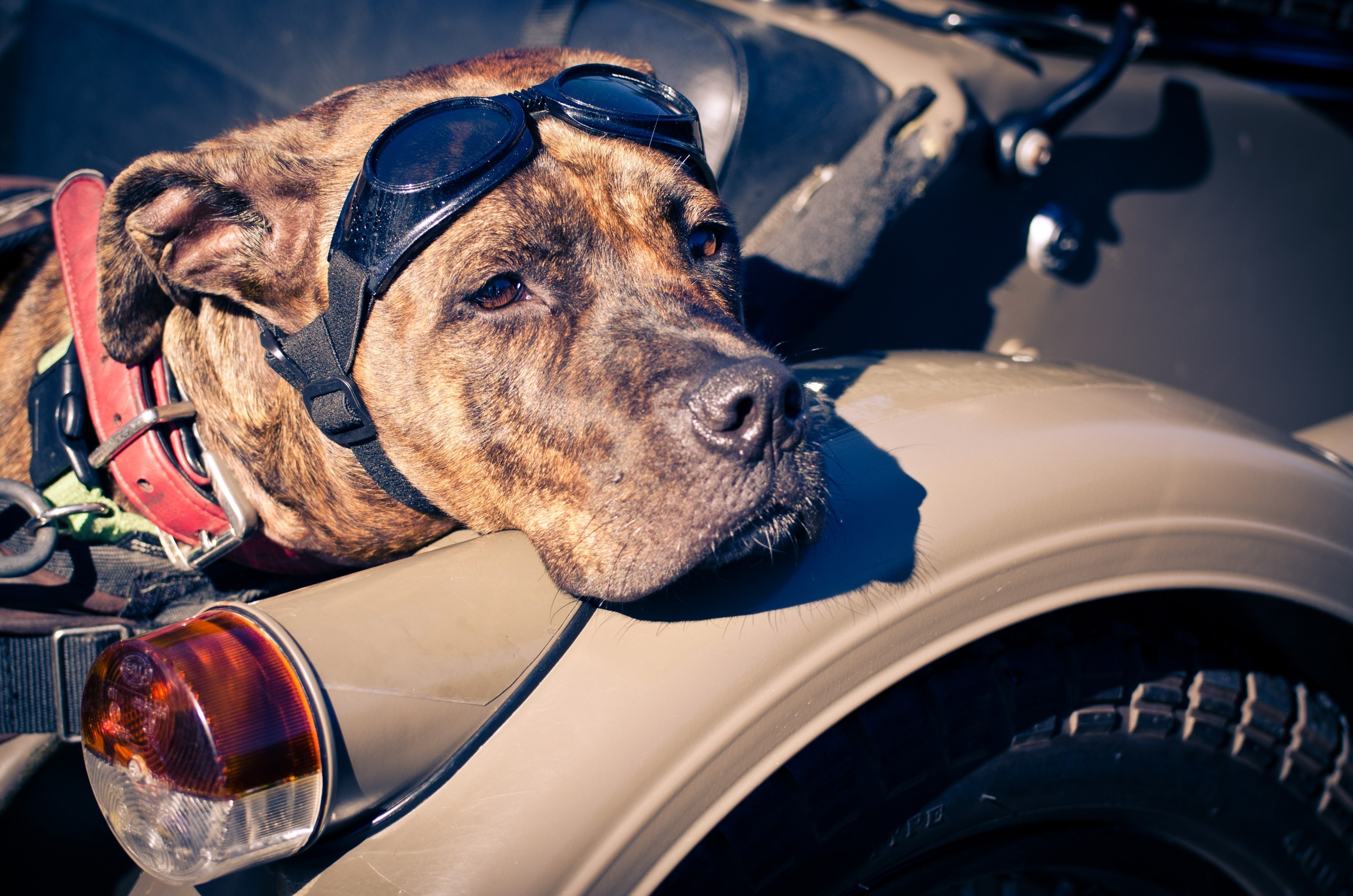117374 download wallpaper Animals, Dog, Sight, Opinion, Glasses, Spectacles, Amstaff screensavers and pictures for free