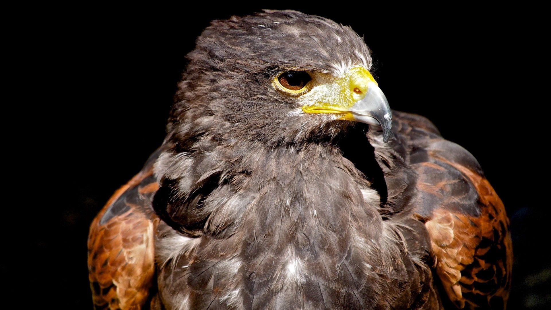 136164 Hintergrundbild herunterladen Tiere, Vogel, Schnabel, Raubtier, Predator, Adler - Bildschirmschoner und Bilder kostenlos