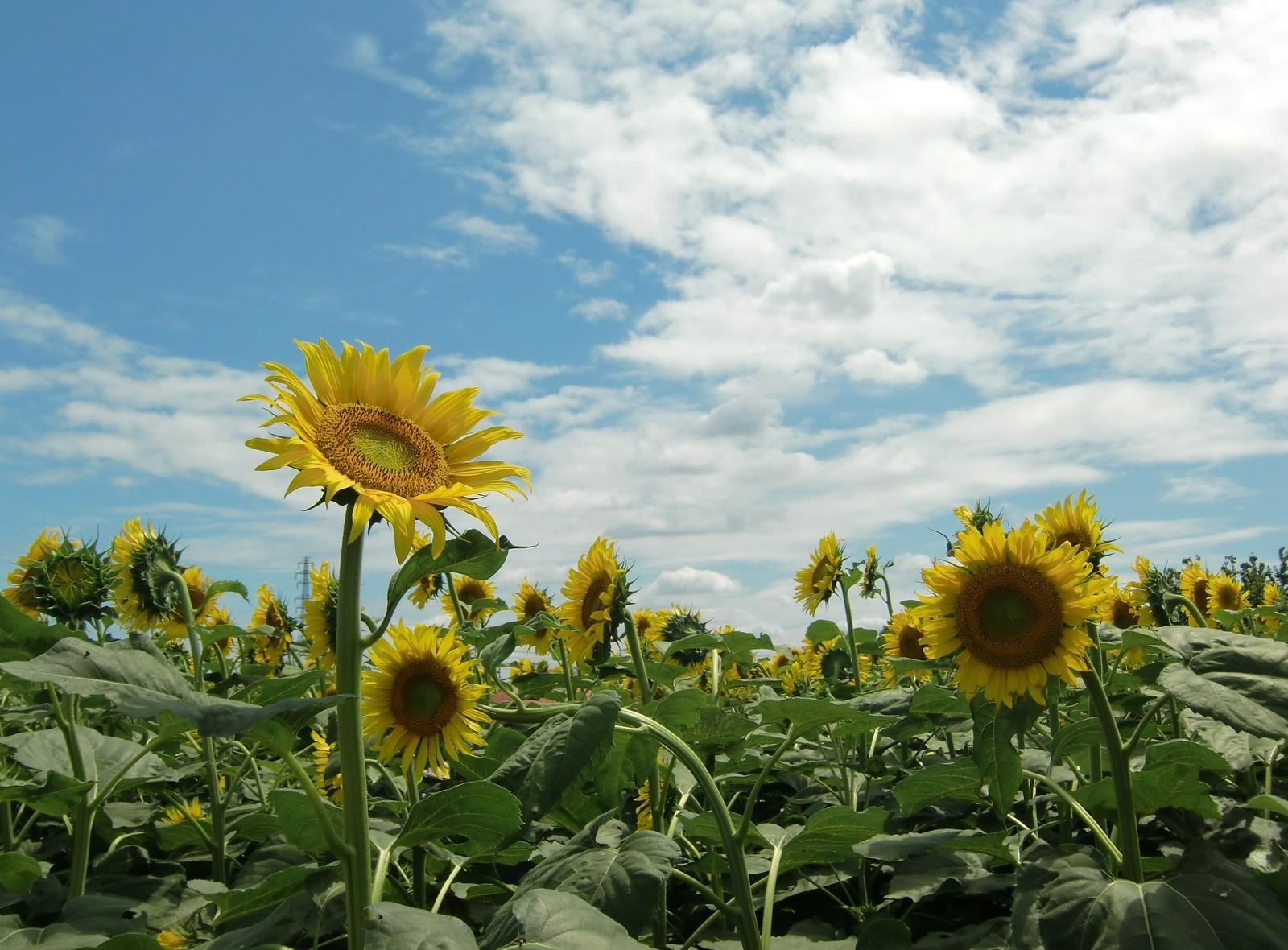 111753 скачать обои Цветы, Поле, Небо, Солнечно, Лето, Подсолнухи - заставки и картинки бесплатно