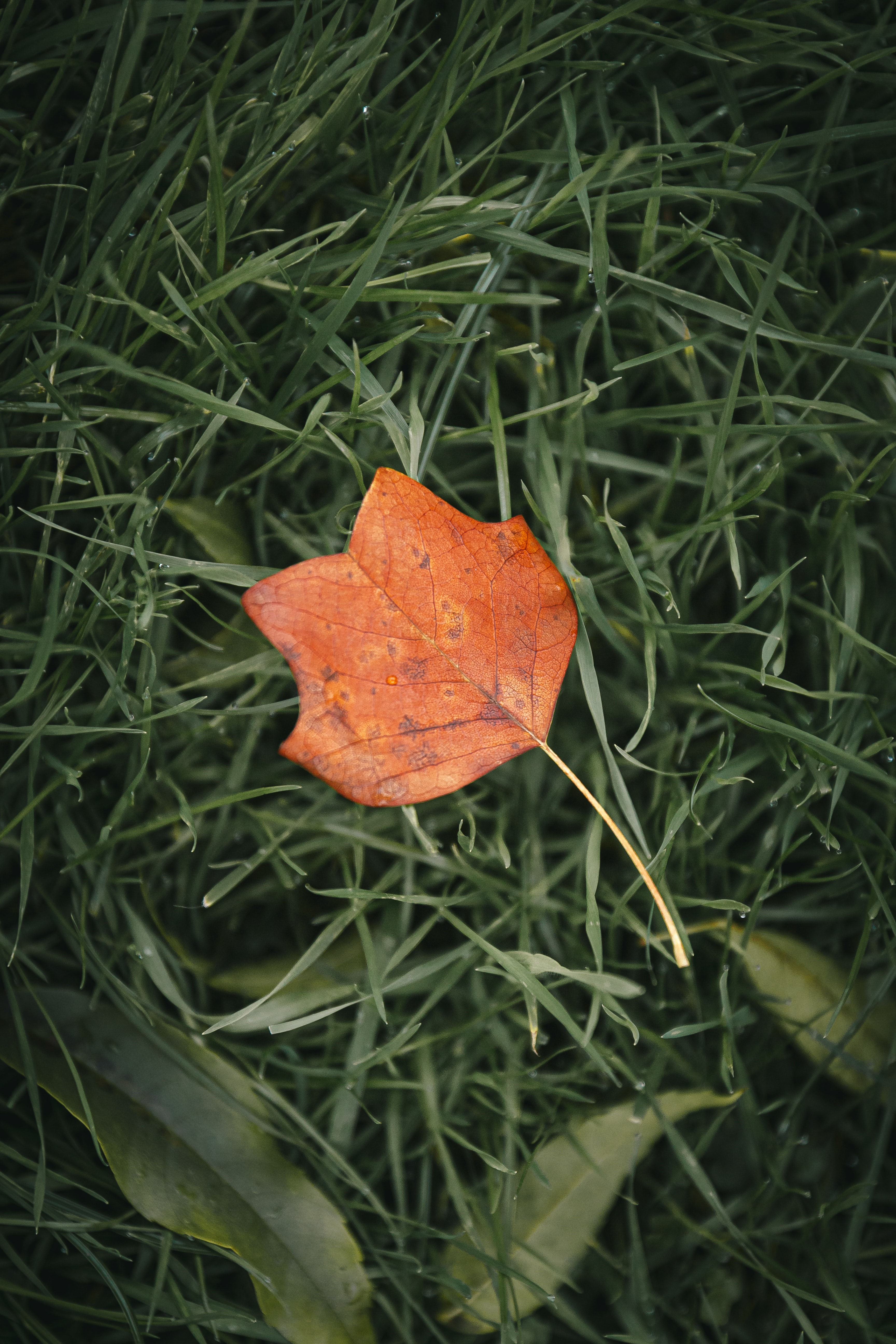 116050 download wallpaper Macro, Sheet, Leaf, Autumn, Grass, Veins screensavers and pictures for free