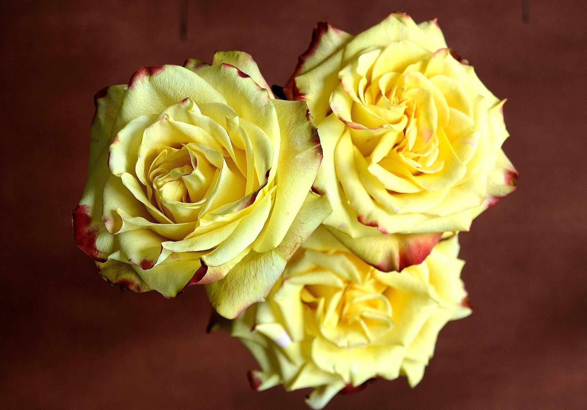 144488 скачать обои Цветы, Три, Резкость, Розы - заставки и картинки бесплатно