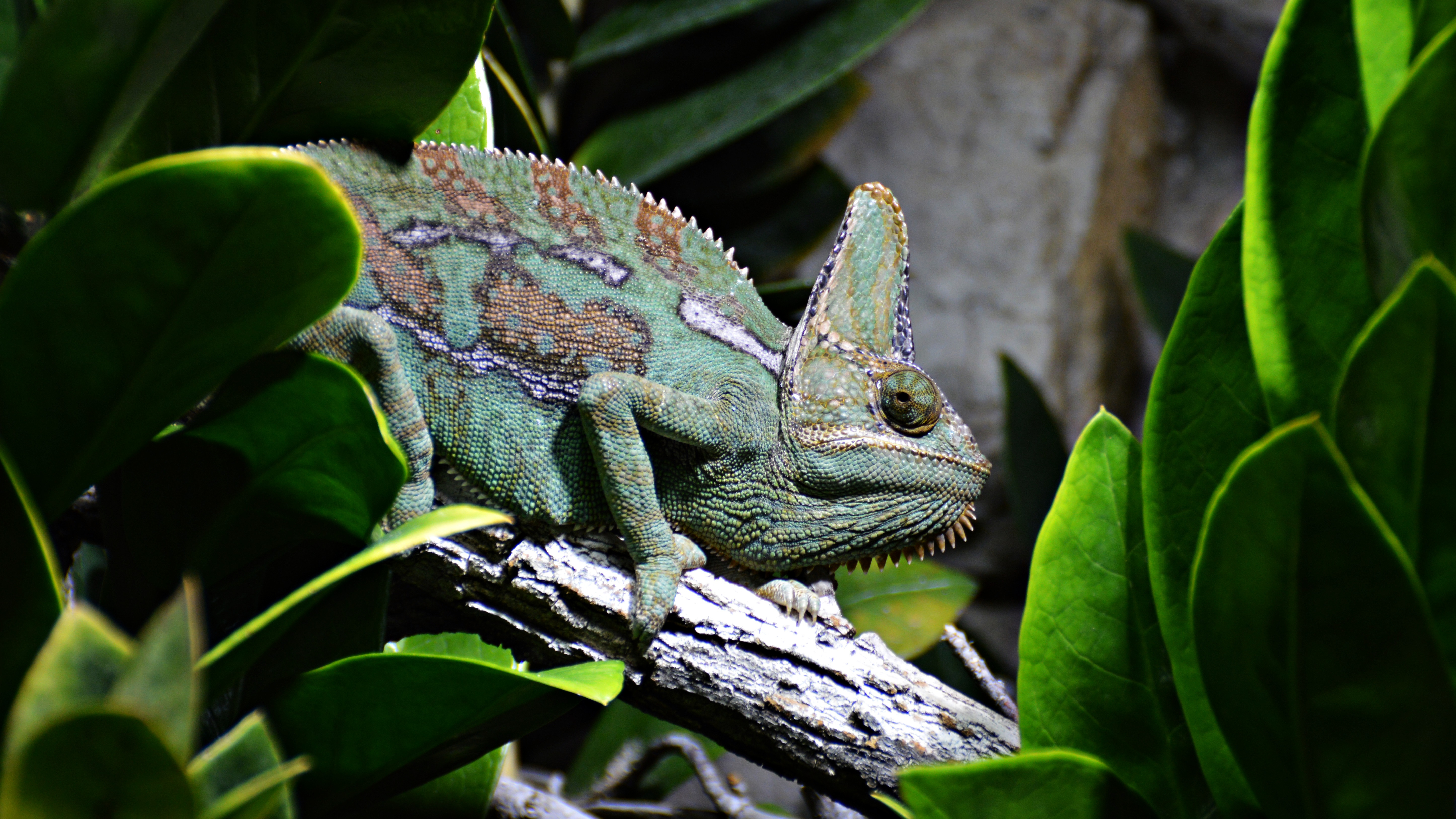 65614 download wallpaper Animals, Reptile, Chameleon, Profile, Animal screensavers and pictures for free