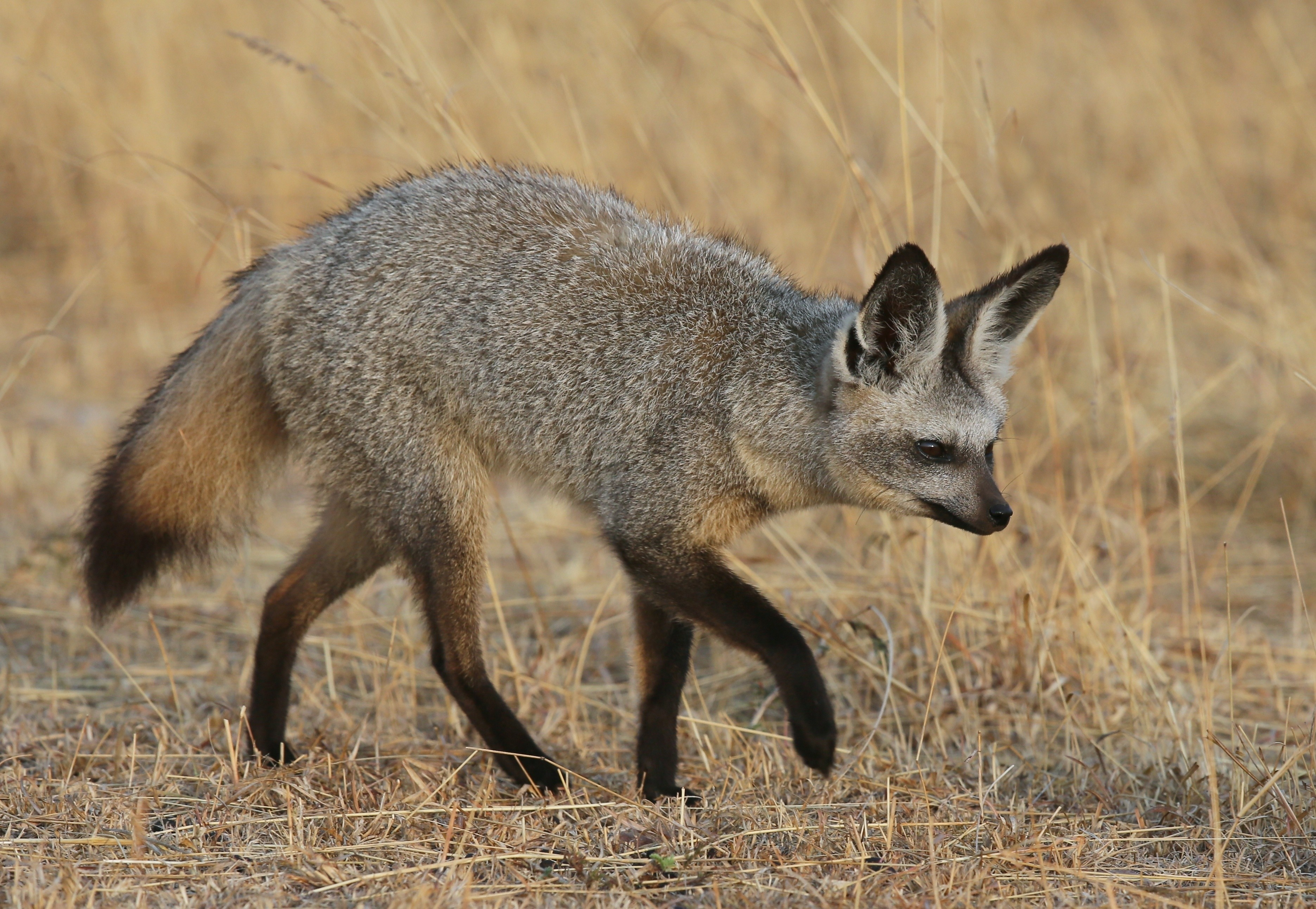 74555 Screensavers and Wallpapers Fox for phone. Download Animals, Fox, Stroll, Big-Eared Fox, Big-Dead Fox pictures for free