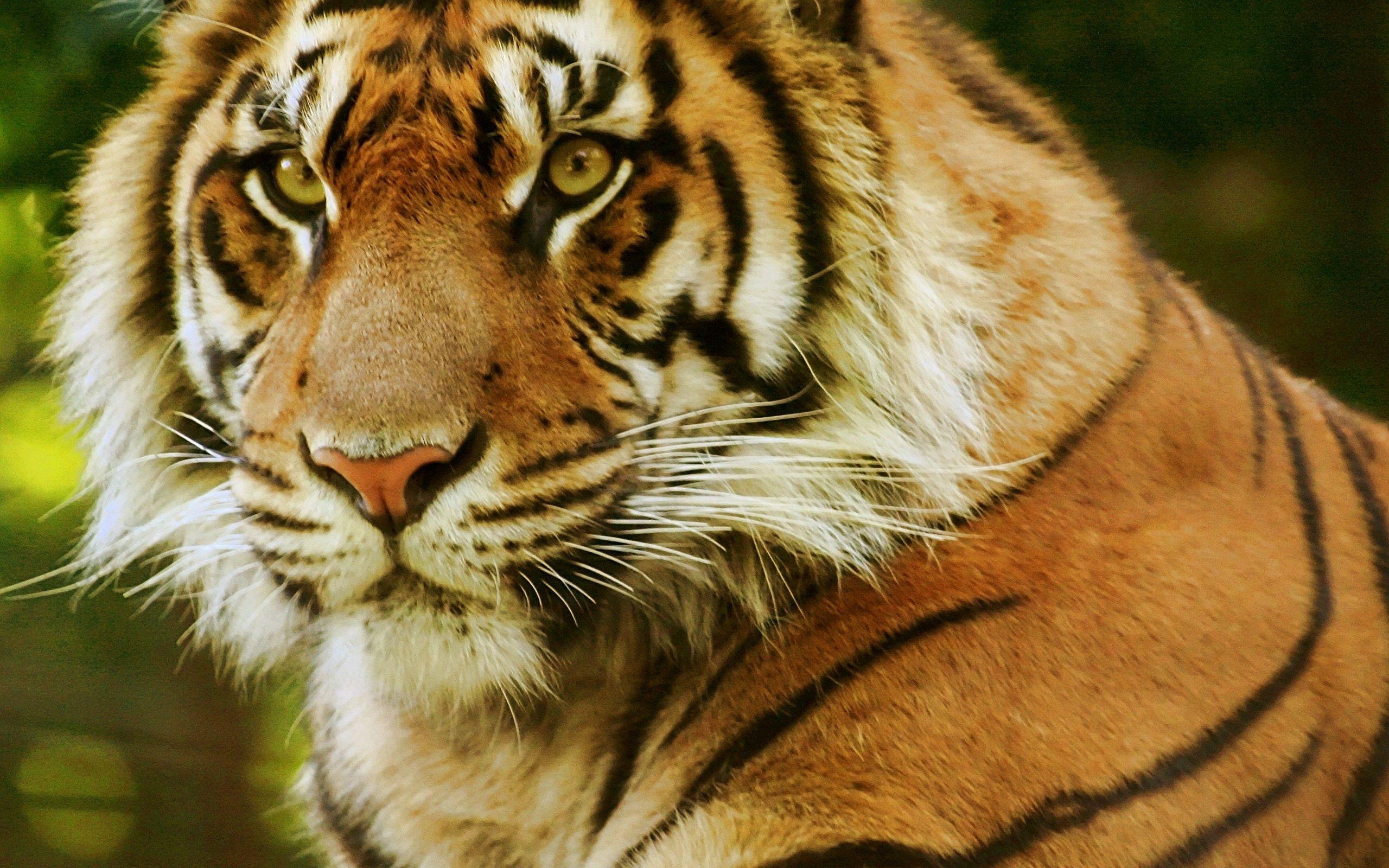 65300 Hintergrundbild 480x800 kostenlos auf deinem Handy, lade Bilder Tiere, Schnauze, Raubtier, Predator, Sicht, Meinung, Tiger 480x800 auf dein Handy herunter