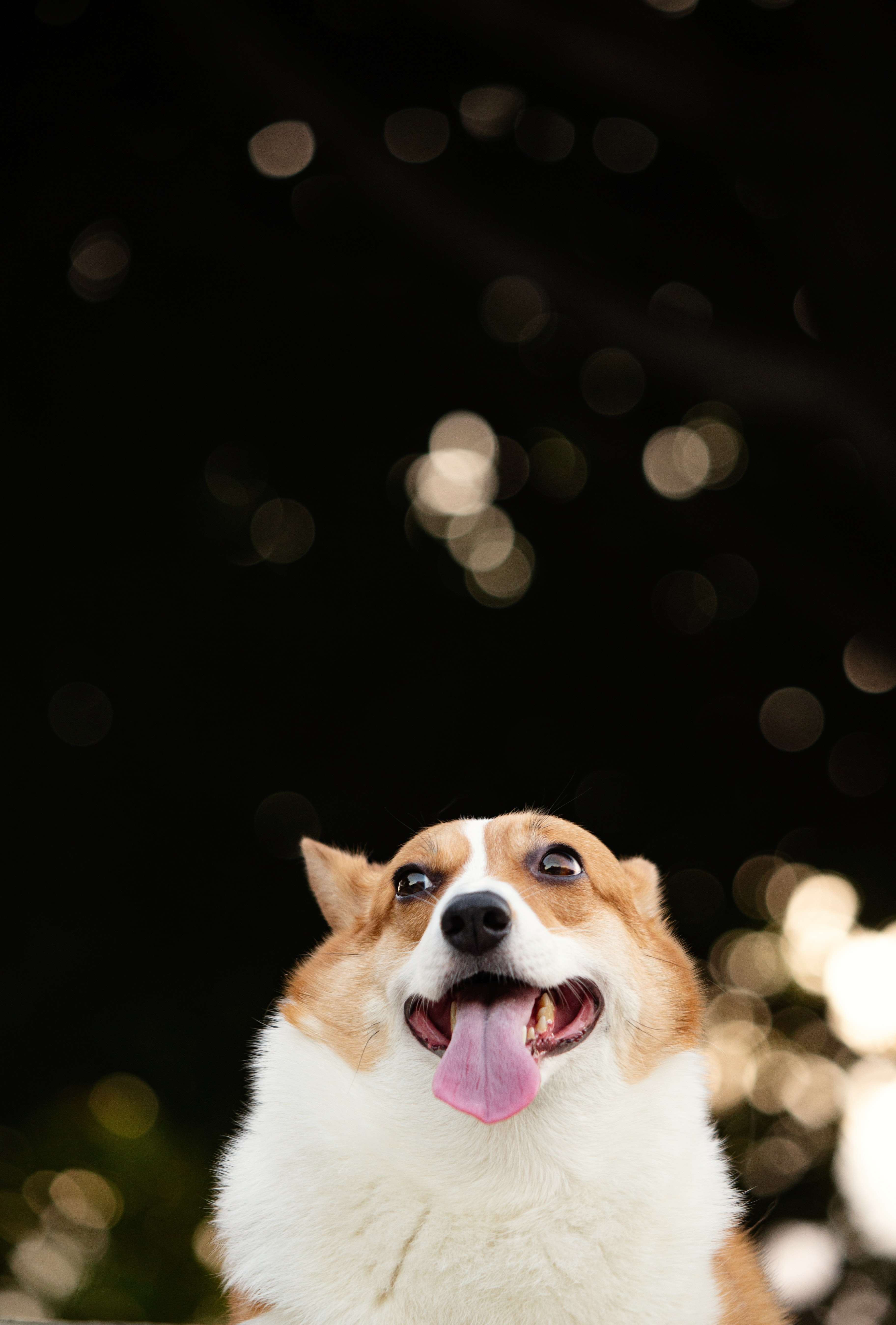 120179 Screensavers and Wallpapers Protruding Tongue for phone. Download Animals, Corgi, Dog, Funny, Protruding Tongue, Tongue Stuck Out, Pet pictures for free