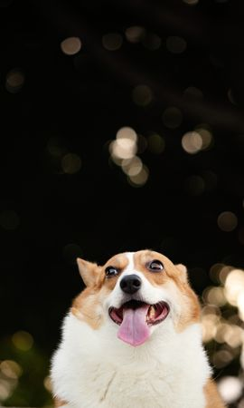 120179 Screensavers and Wallpapers Funny for phone. Download Animals, Corgi, Dog, Funny, Protruding Tongue, Tongue Stuck Out, Pet pictures for free
