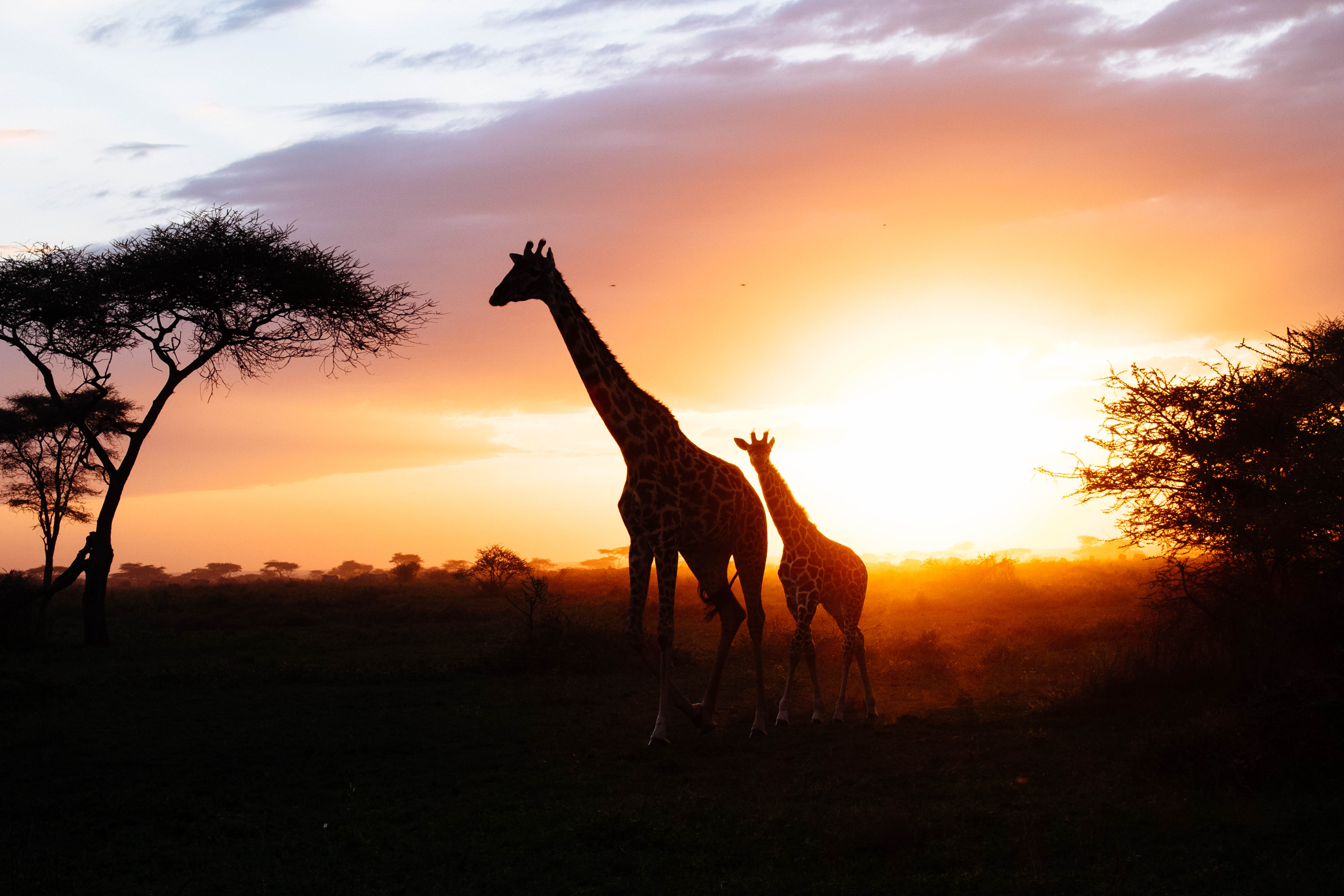 109611 download wallpaper Animals, Silhouettes, Young, Joey, Couple, Pair, Giraffes screensavers and pictures for free