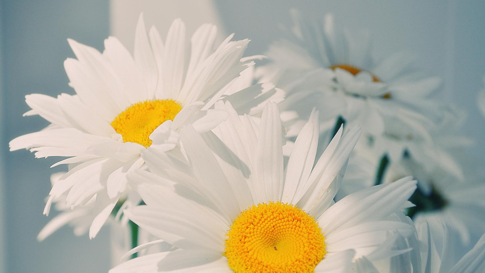 25781 скачать обои Растения, Цветы, Ромашки - заставки и картинки бесплатно