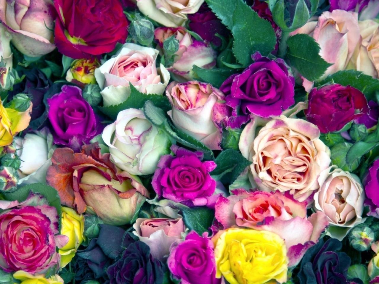 15619 descargar fondo de pantalla Plantas, Flores, Fondo, Roses: protectores de pantalla e imágenes gratis