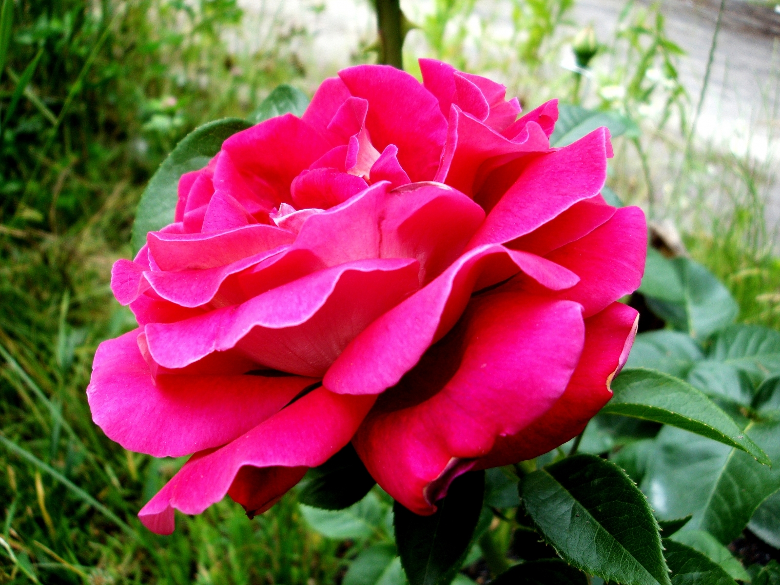 4973 скачать обои Растения, Цветы, Розы - заставки и картинки бесплатно