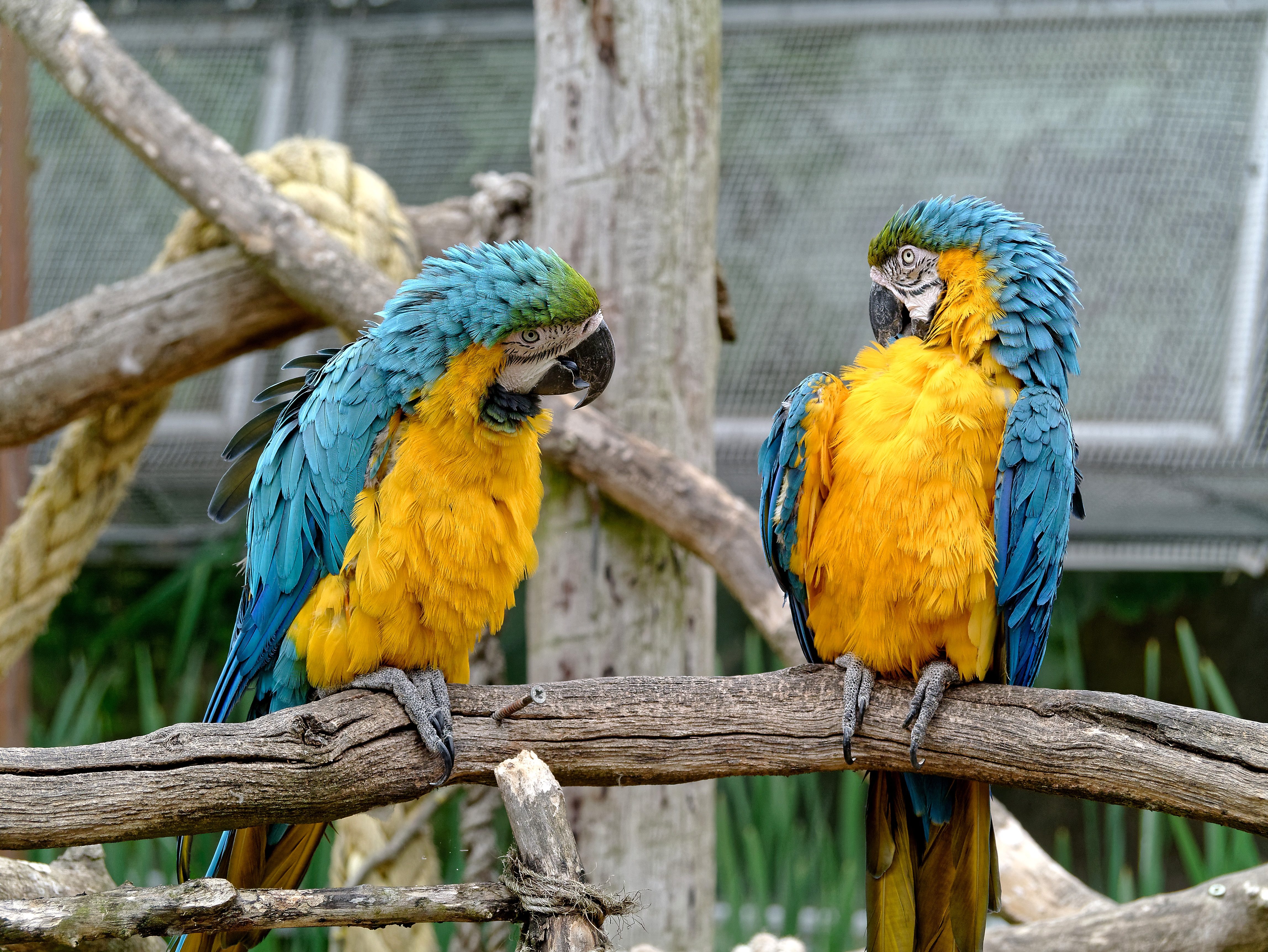 124453 download wallpaper Birds, Animals, Parrots, Couple, Pair, Zoo screensavers and pictures for free