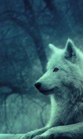 97559 download wallpaper Animals, Wolf, Light Coloured, Light, Forest, Wild, Calmness, Tranquillity, Appeasement, Pacification screensavers and pictures for free