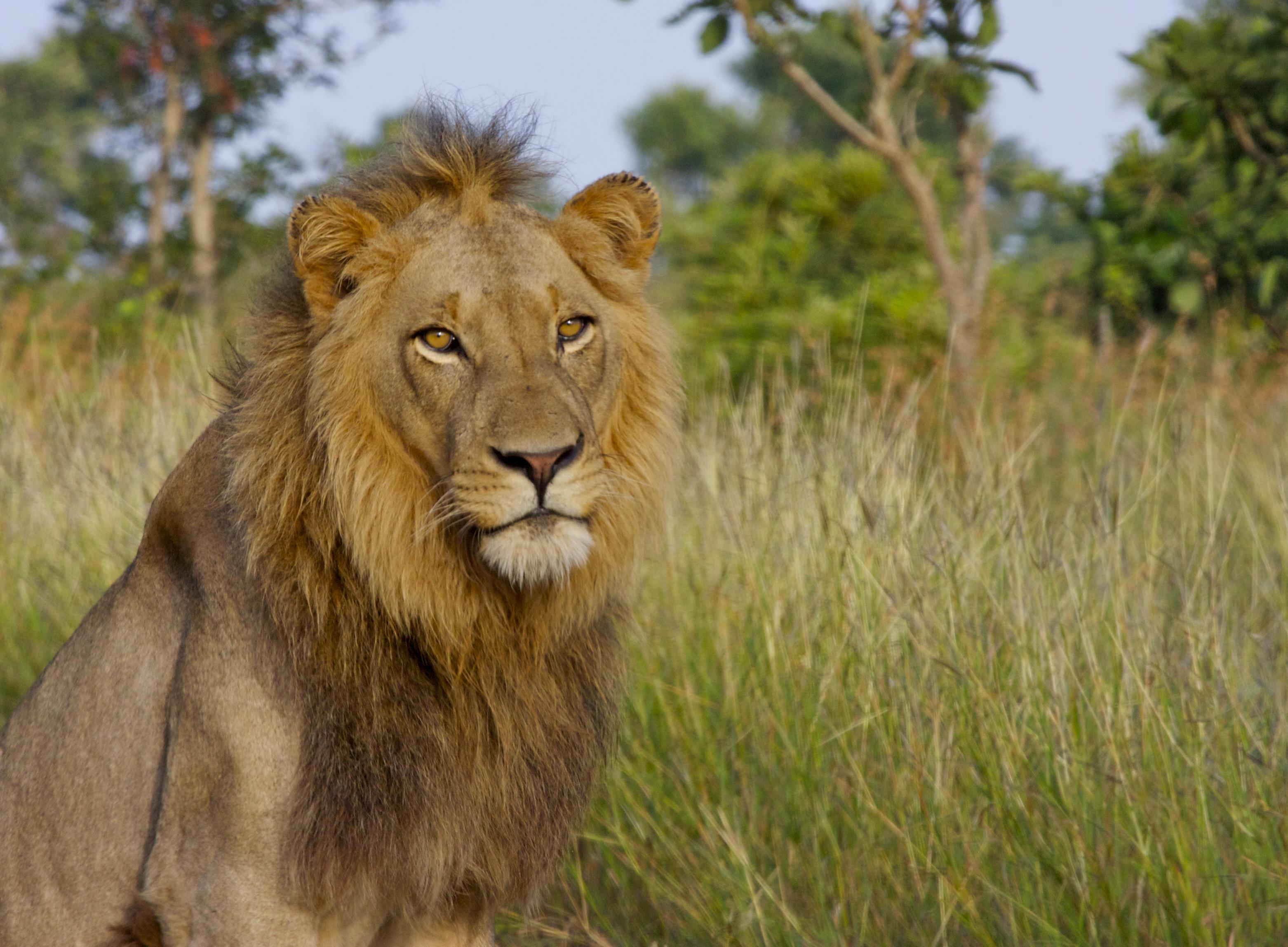 61061 Protetores de tela e papéis de parede Rei Das Feras em seu telefone. Baixe Animais, Leão, Um Leão, Gato Grande, Rei Das Feras, Rei Das Bestas fotos gratuitamente