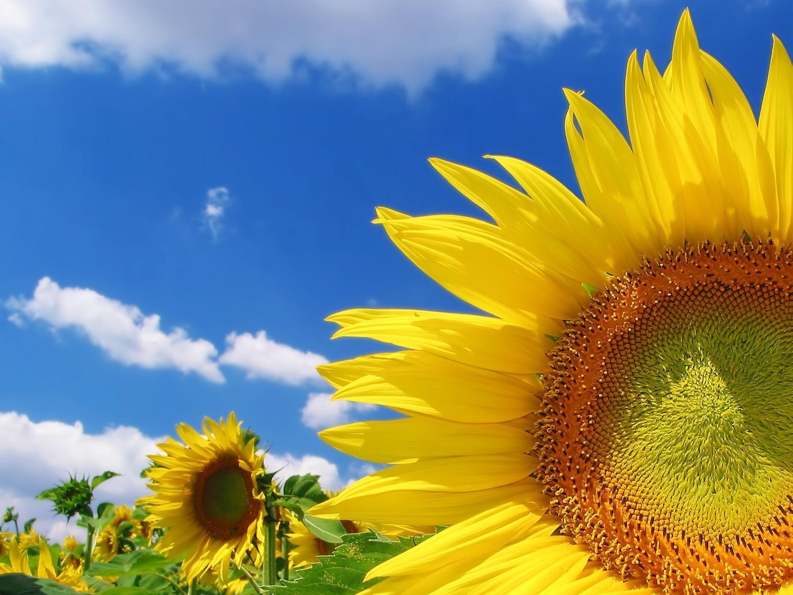 5878 免費下載壁紙 植物, 花卉, 向日葵 屏保和圖片