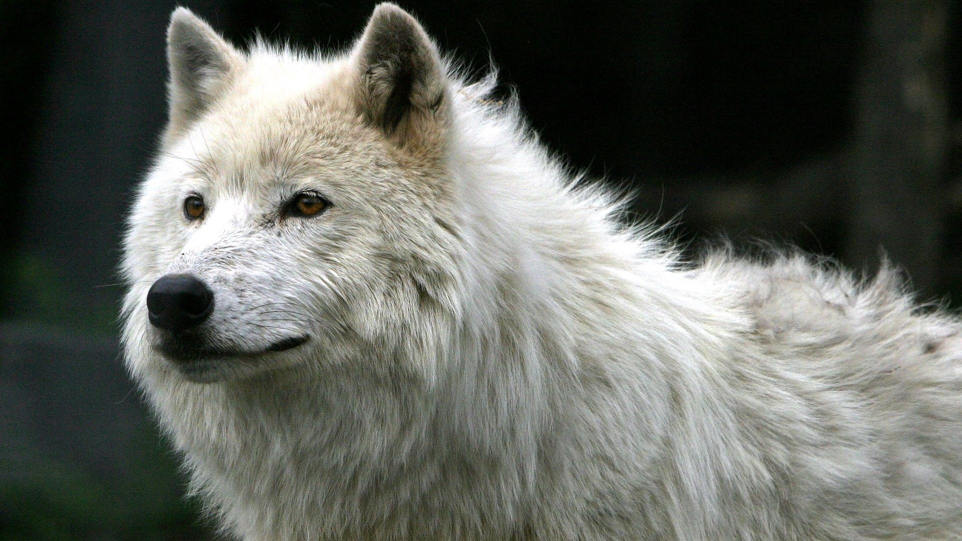116535 Screensavers and Wallpapers Wool for phone. Download Wolf, Animals, Predator, Wool pictures for free