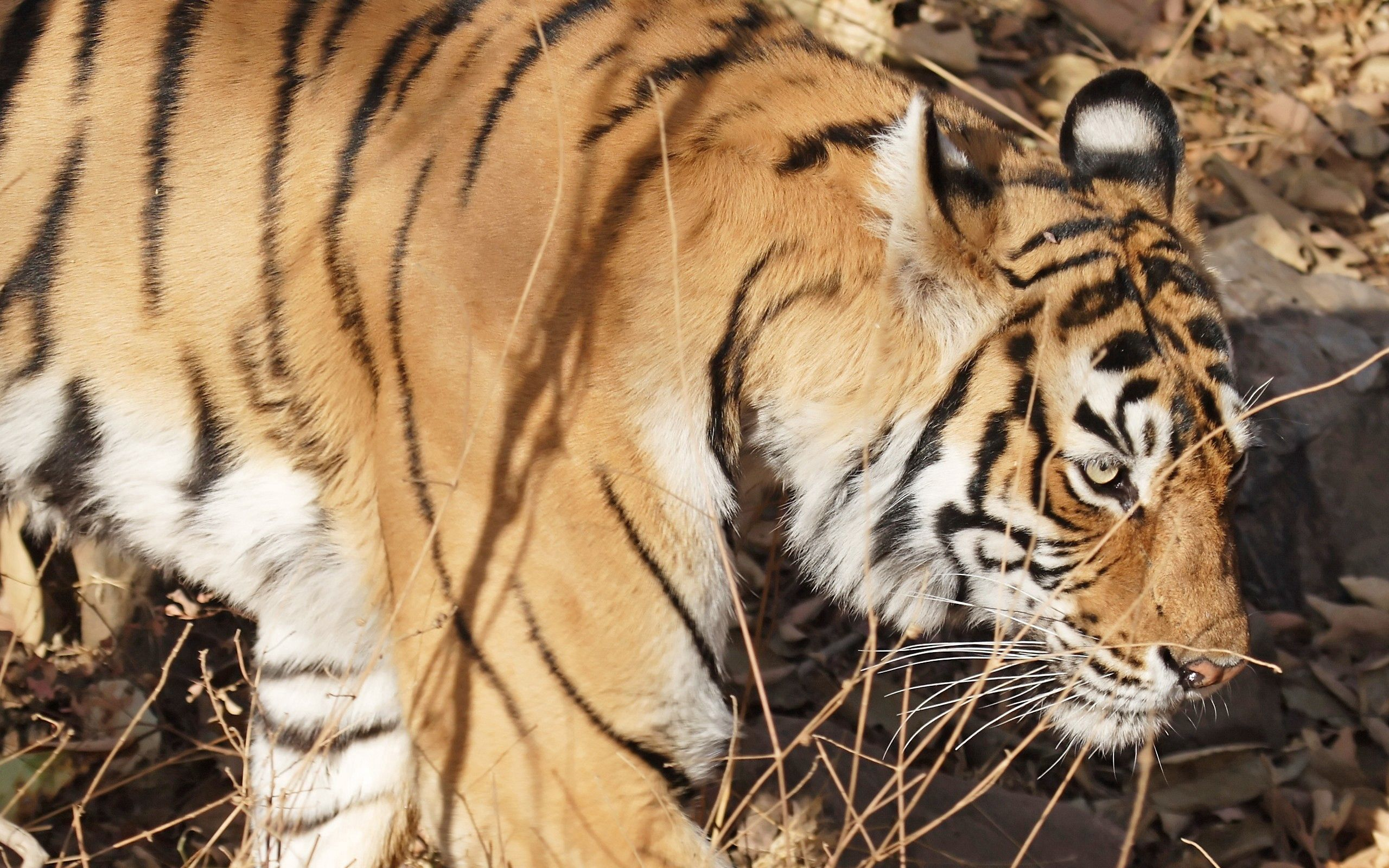137064 download wallpaper Animals, Tiger, Muzzle, Striped screensavers and pictures for free