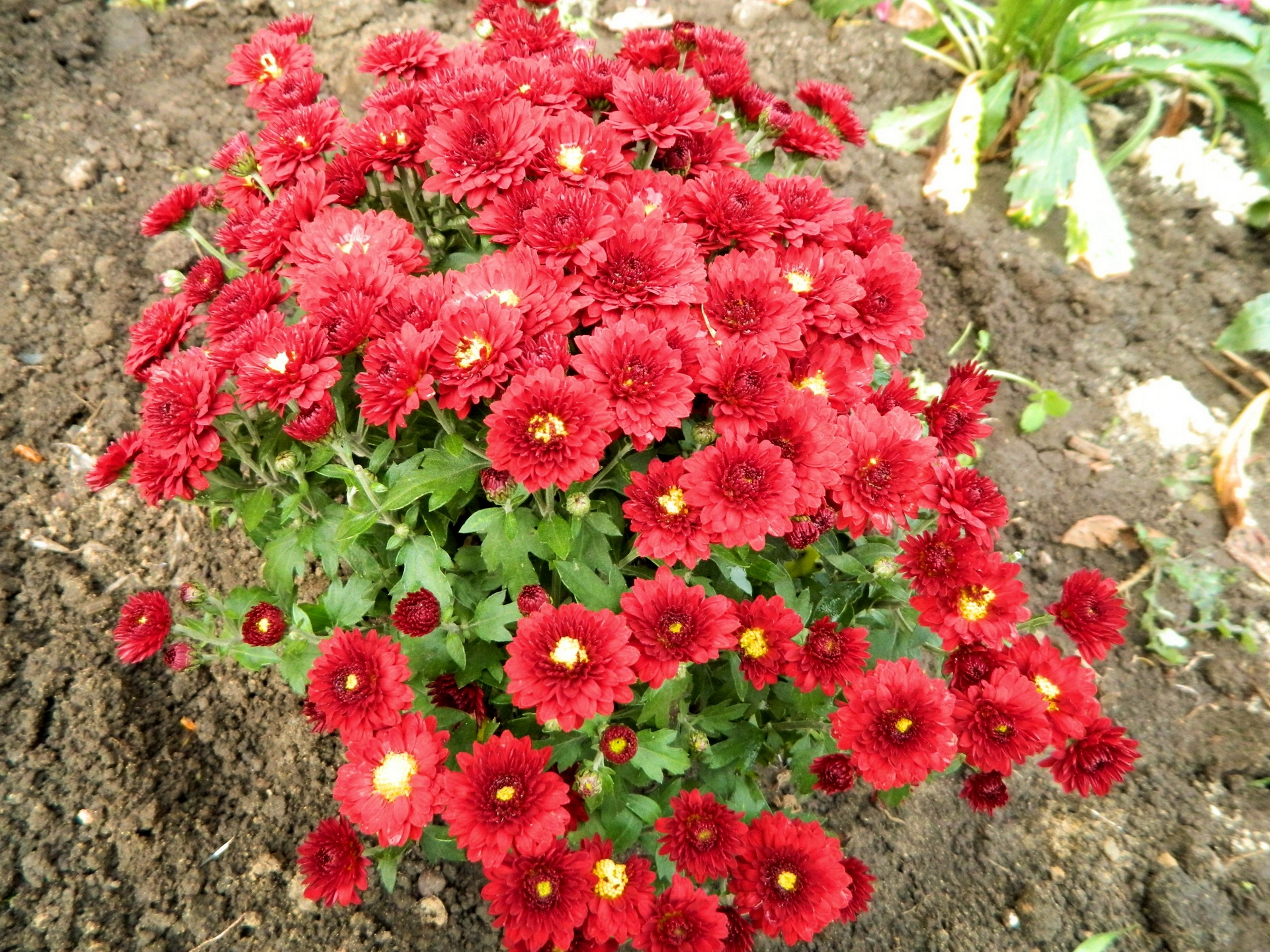 147992 скачать обои Цветы, Хризантемы, Земля, Сад - заставки и картинки бесплатно