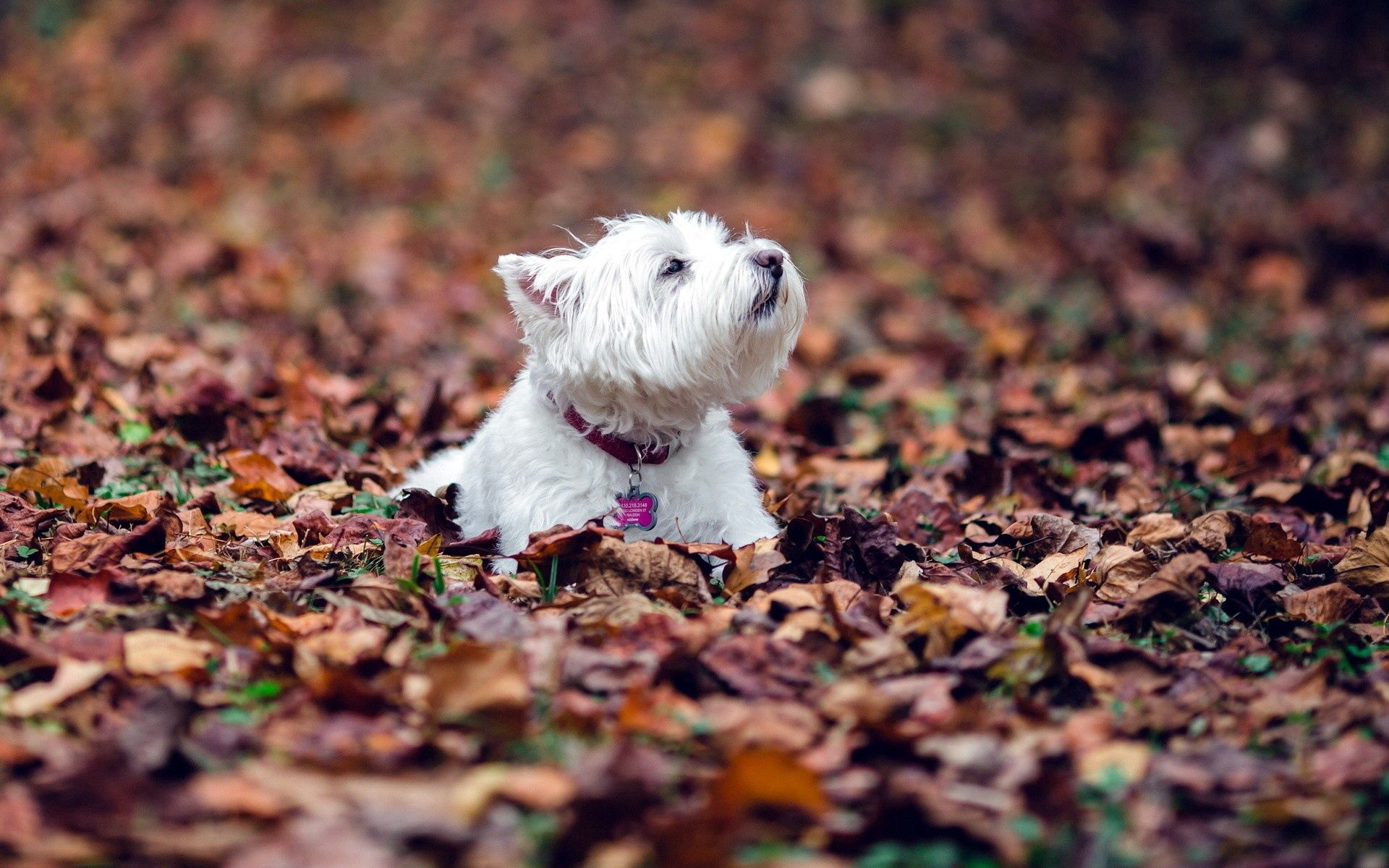 54204 download wallpaper Animals, Dog, Leaves, Autumn, To Lie Down, Lie, Terrier screensavers and pictures for free