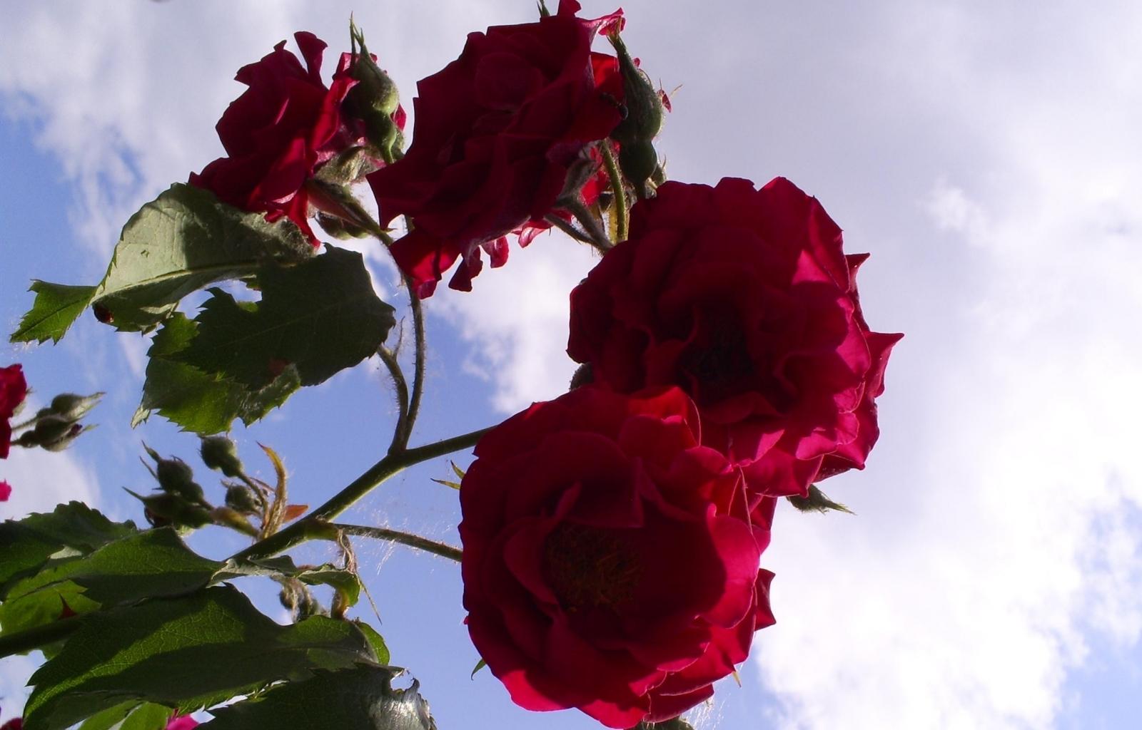 3636 скачать обои Растения, Цветы, Розы - заставки и картинки бесплатно