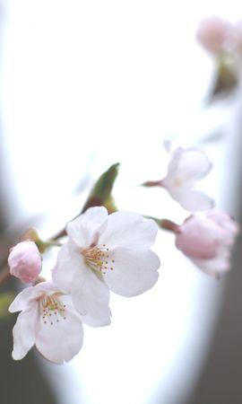 84615 скачать обои Макро, Вишня, Сакура, Белая, Веточка, Небо, Весна, Размытость, Свет - заставки и картинки бесплатно