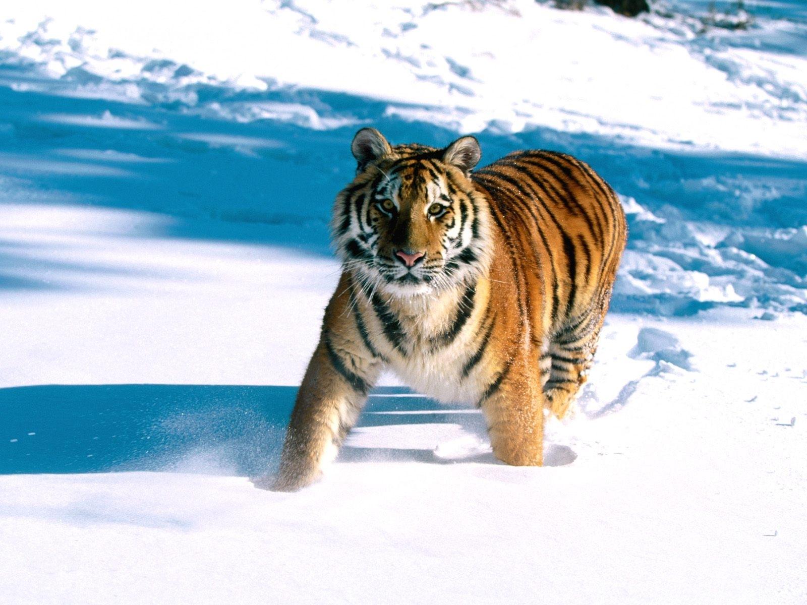 4315 descargar fondo de pantalla Animales, Invierno, Tigres, Nieve: protectores de pantalla e imágenes gratis