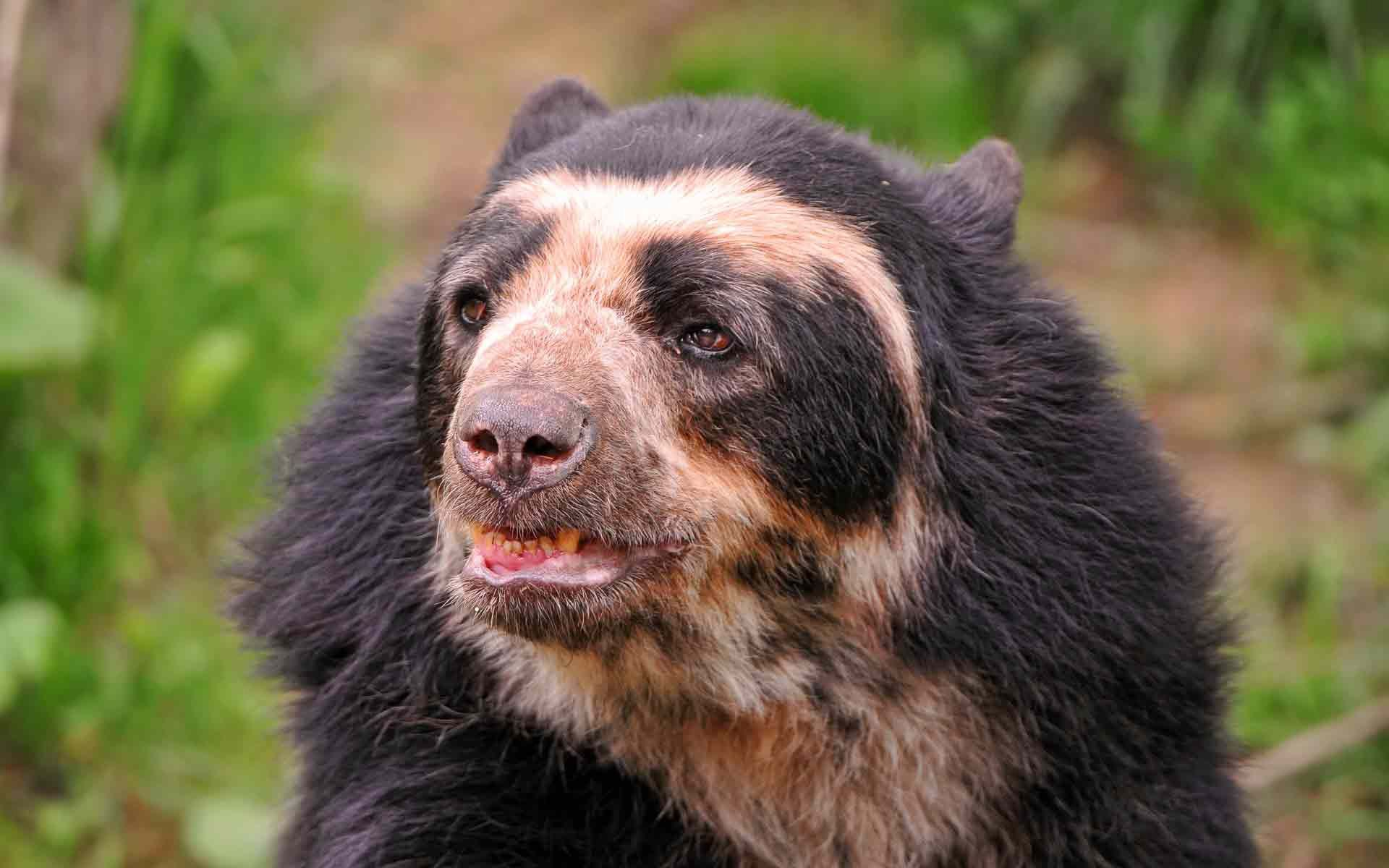 56621 download wallpaper Animals, Bear, Cool, Muzzle, Sight, Opinion screensavers and pictures for free
