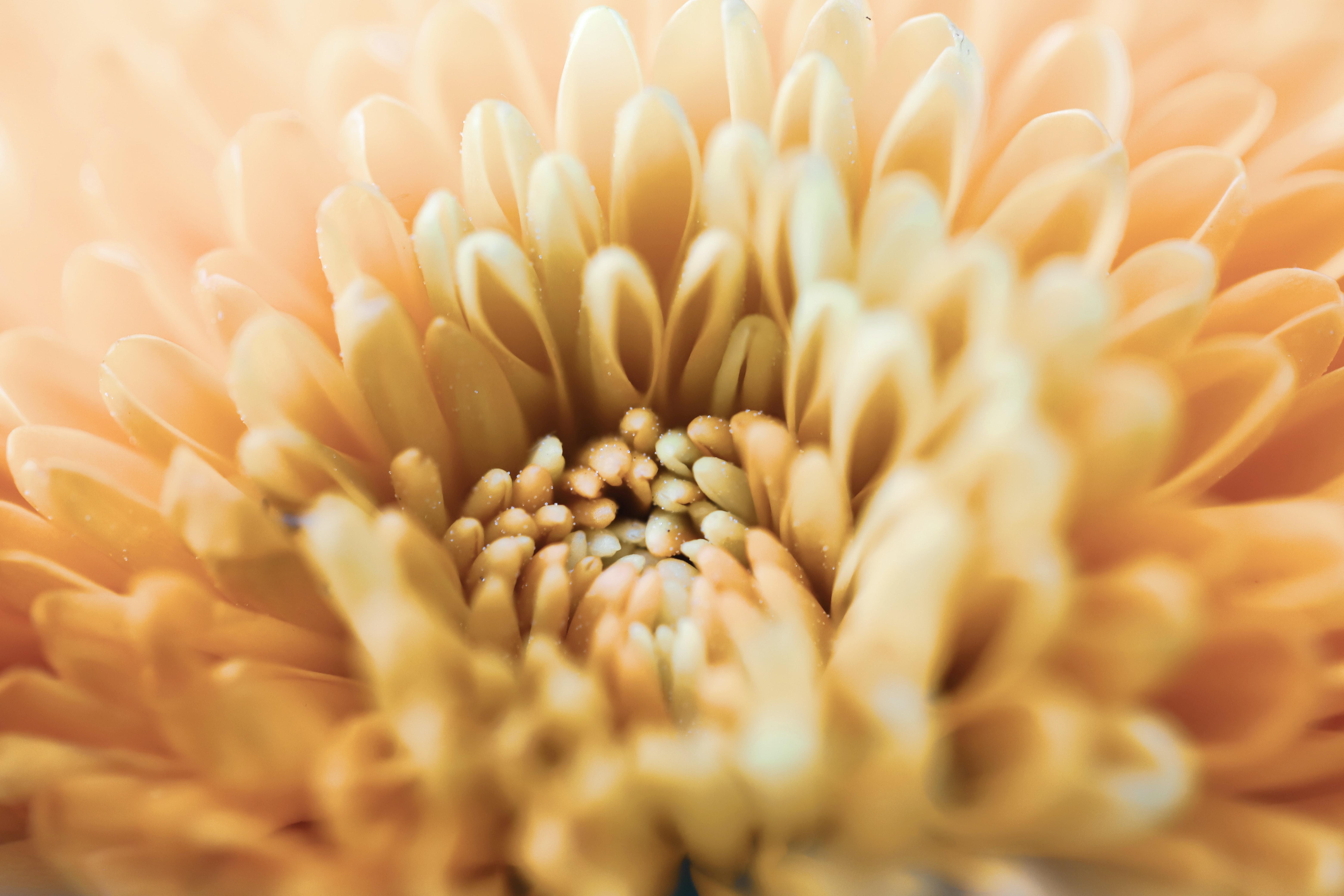 118755 download wallpaper Macro, Chrysanthemum, Flower, Petals screensavers and pictures for free