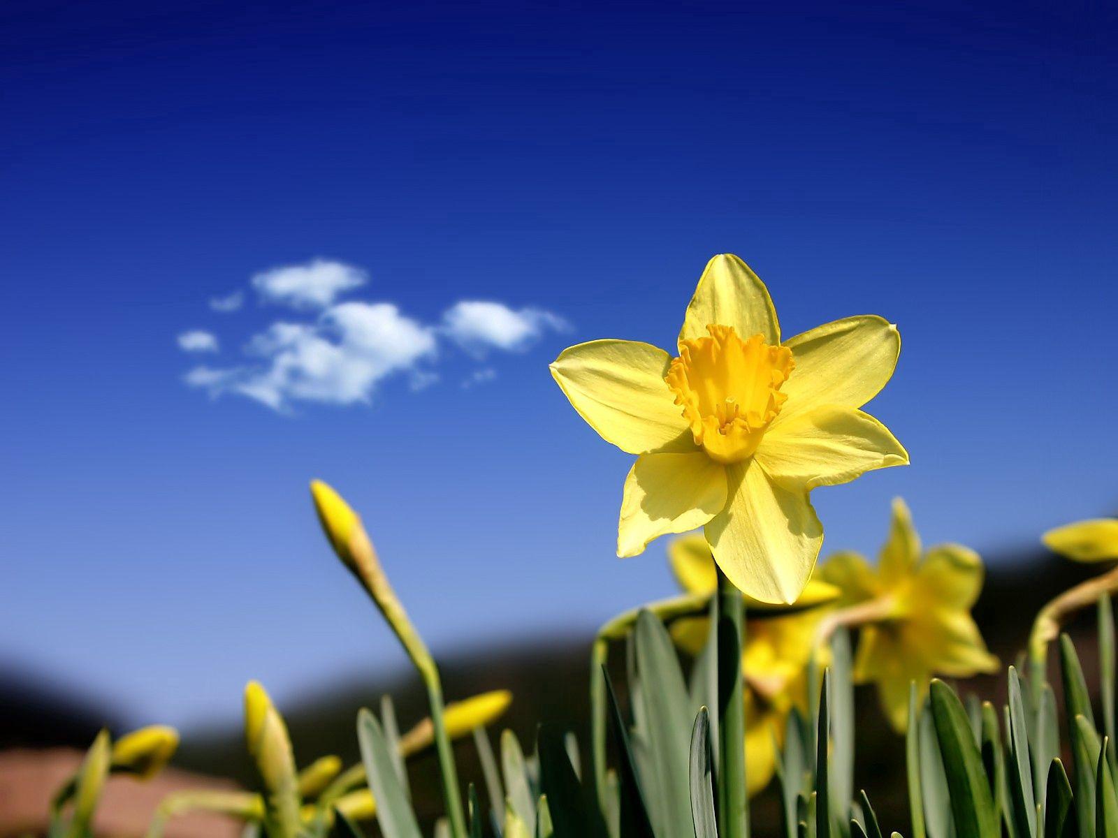 80116 Заставки и Обои Нарциссы на телефон. Скачать Цветы, Небо, Нарциссы, Бутоны, Весна, Облако картинки бесплатно