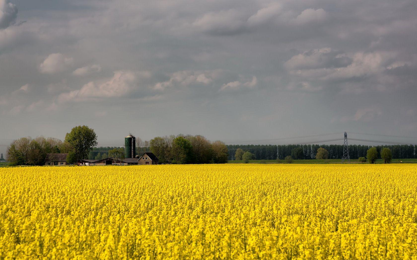 134451 скачать Желтые обои на телефон бесплатно, Природа, Цветы, Поле, Пасмурно, Ферма, Сельское Хозяйство Желтые картинки и заставки на мобильный