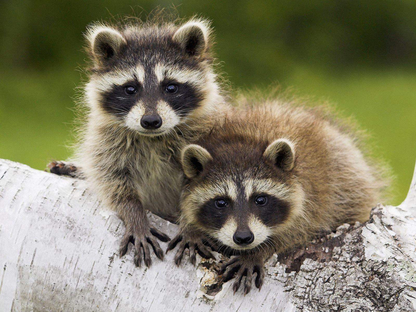 29841 Hintergrundbild herunterladen Tiere, Waschbären - Bildschirmschoner und Bilder kostenlos