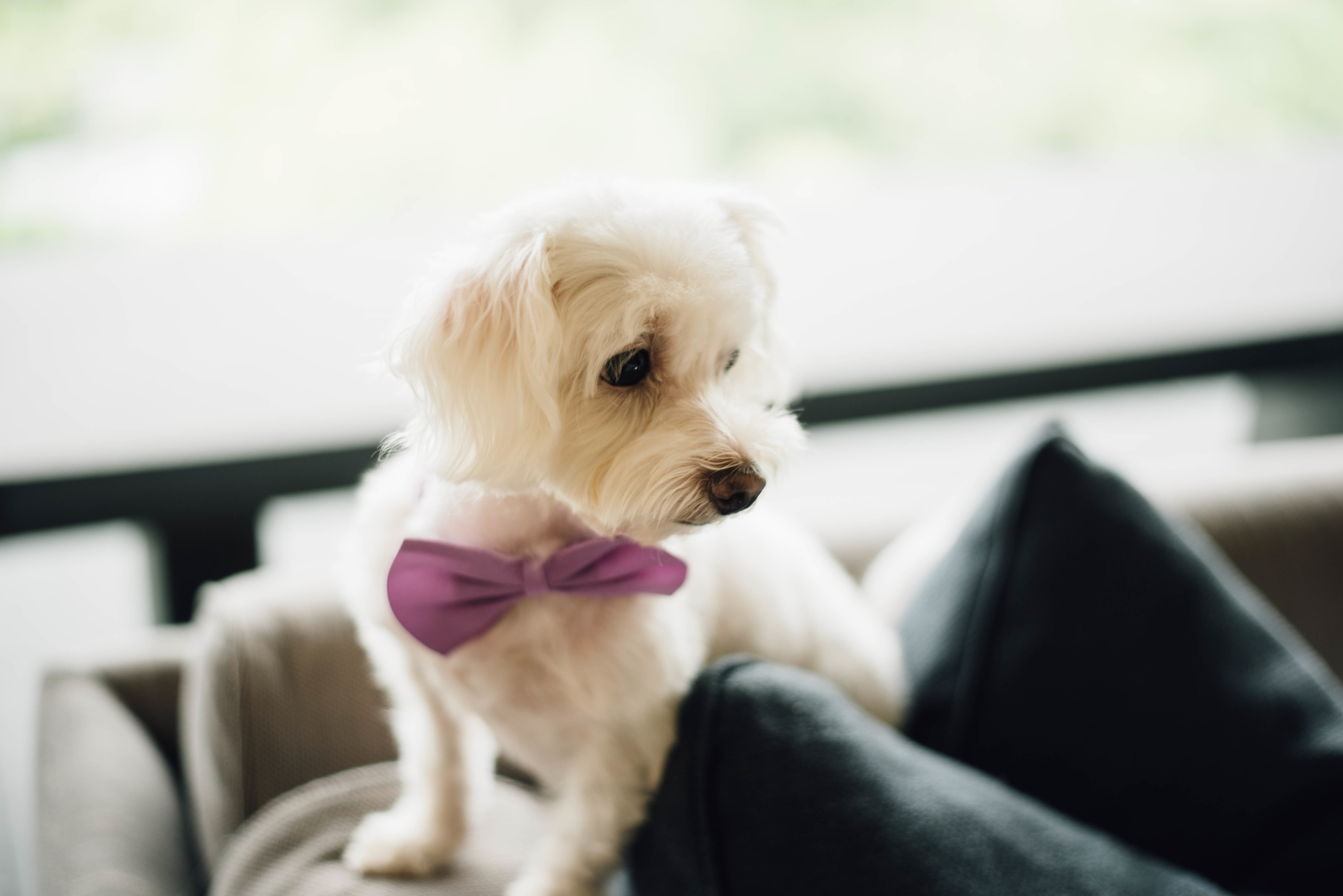 75785 download wallpaper Animals, Dog, Bow Tie, Butterfly Tie, Puppy screensavers and pictures for free
