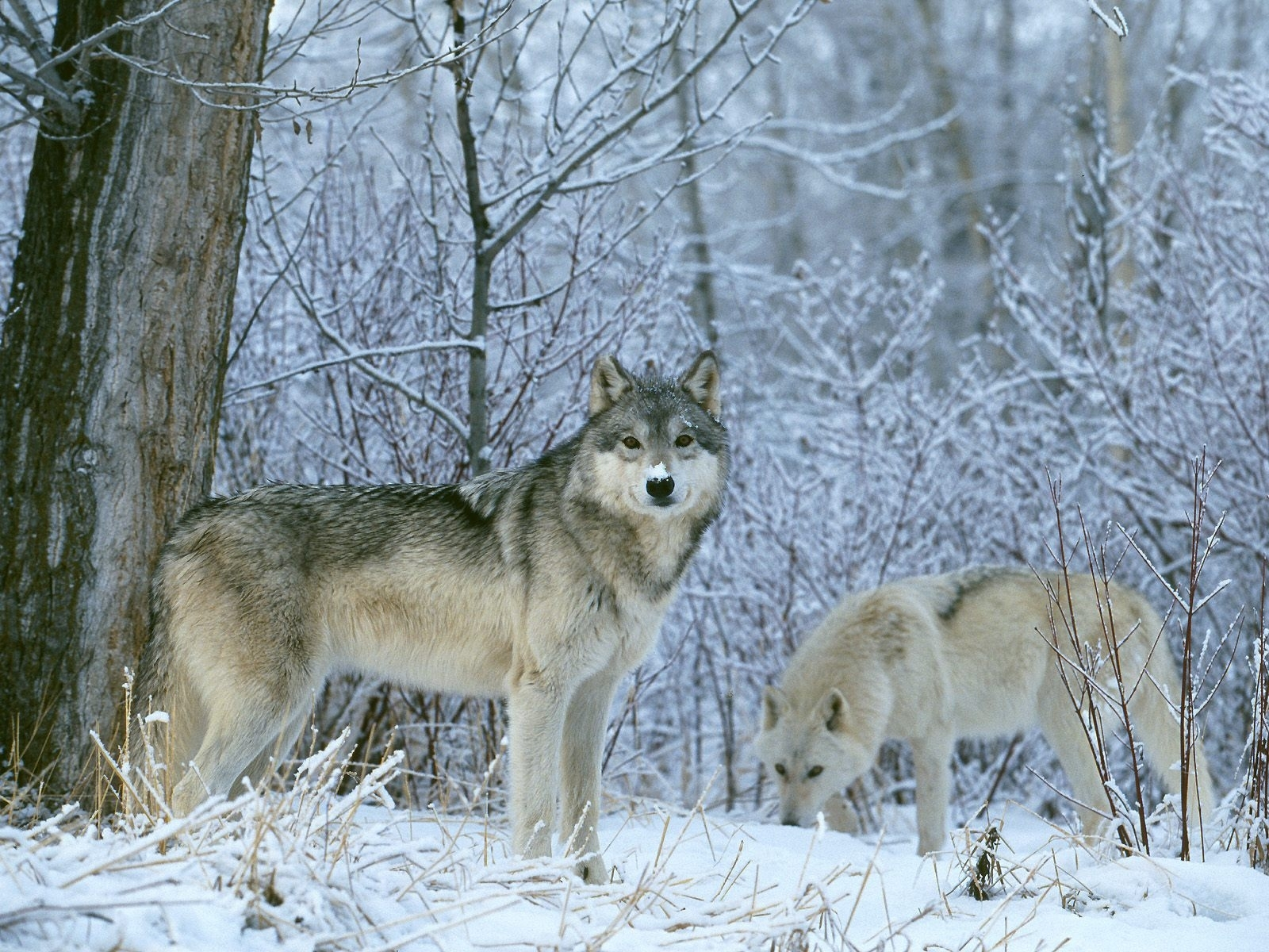 1040 download wallpaper Animals, Wolfs, Winter, Snow screensavers and pictures for free