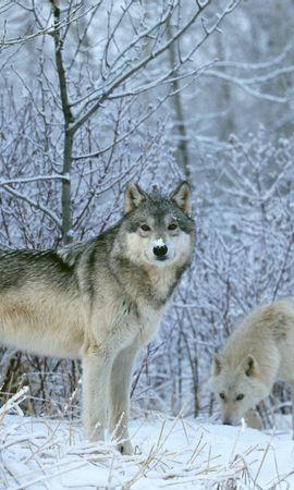 1040 baixar papel de parede Animais, Lobos, Inverno, Neve - protetores de tela e imagens gratuitamente
