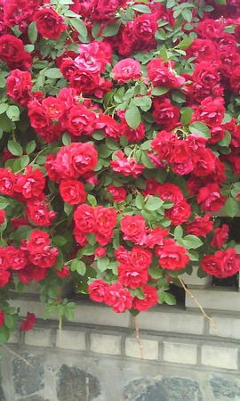 9637 скачать обои Растения, Цветы, Розы - заставки и картинки бесплатно
