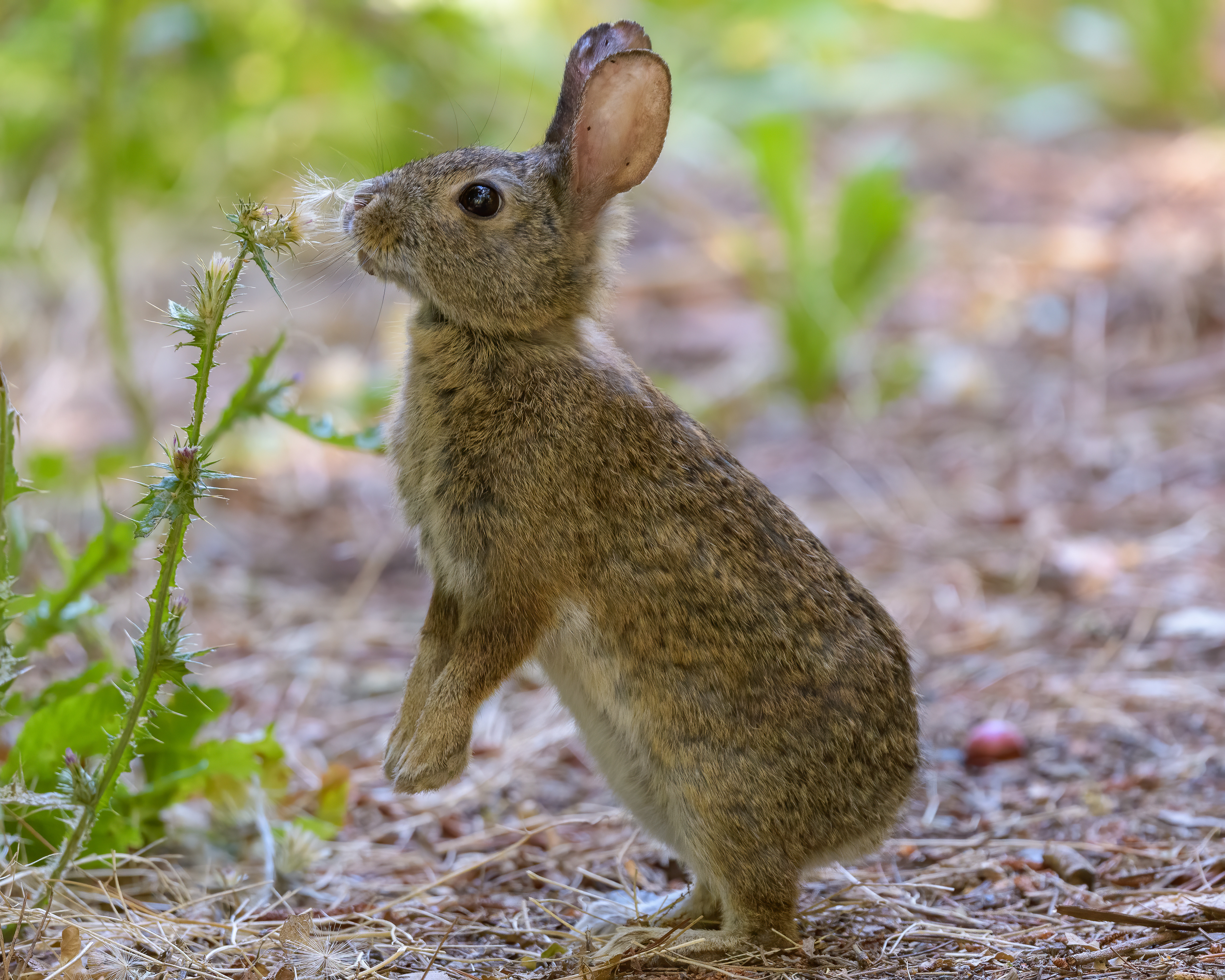 127361 download wallpaper Animals, Rabbit, Hare, Nice, Sweetheart, Profile, Fluff, Down screensavers and pictures for free