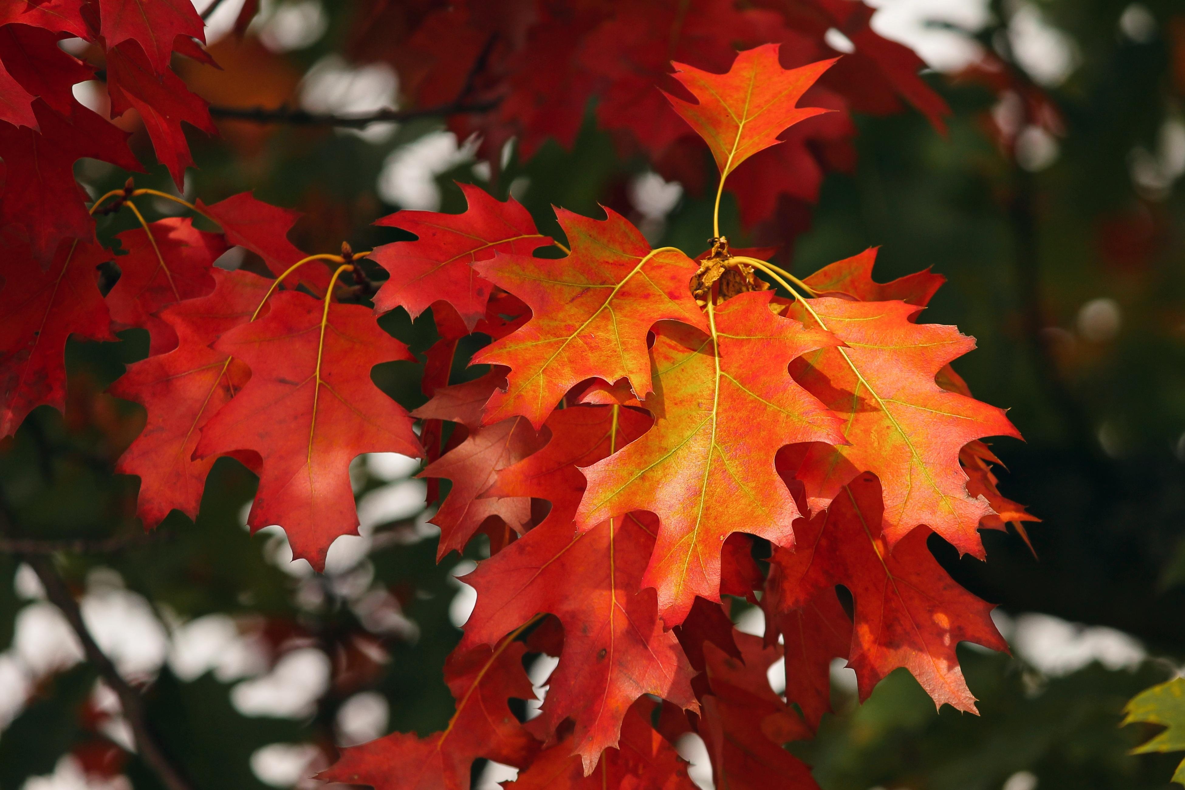 81417 скачать обои Октябрь, Листья, Осень, Природа, Красный - заставки и картинки бесплатно