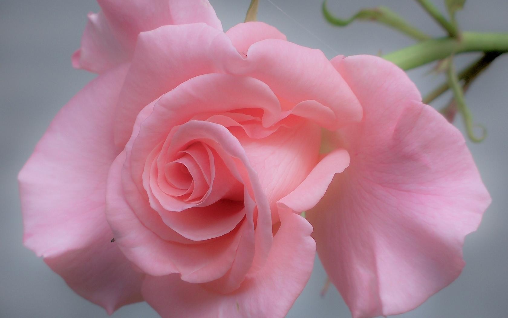 31270 скачать обои Растения, Розы, Цветы - заставки и картинки бесплатно
