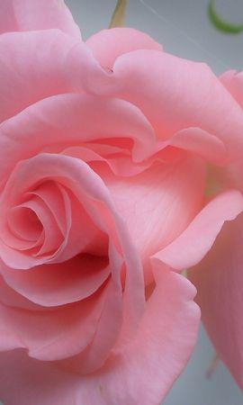 31270 descargar fondo de pantalla Plantas, Flores, Roses: protectores de pantalla e imágenes gratis
