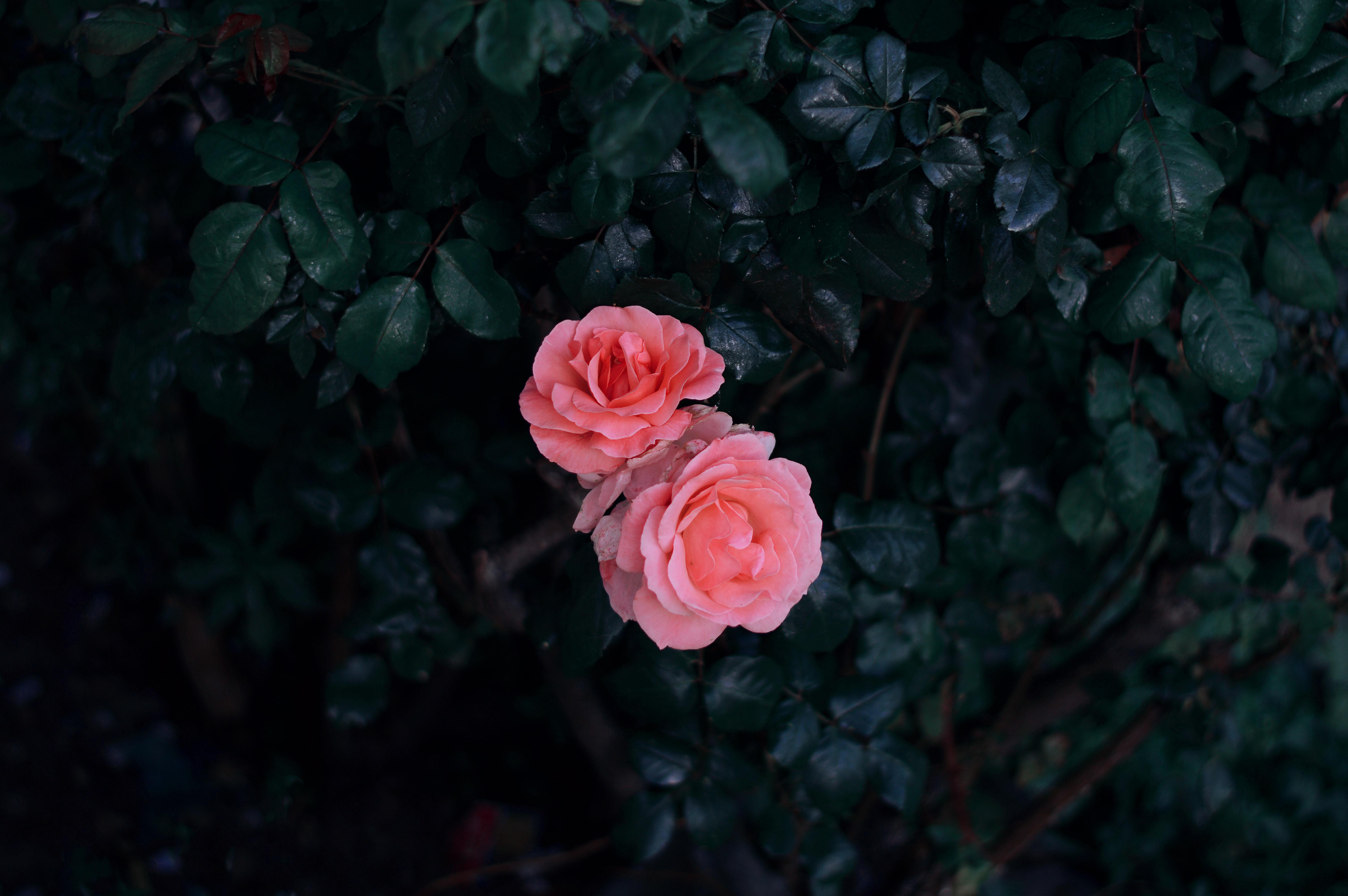 143090 скачать обои Бутоны, Цветы, Листья, Роза, Розовый, Куст - заставки и картинки бесплатно