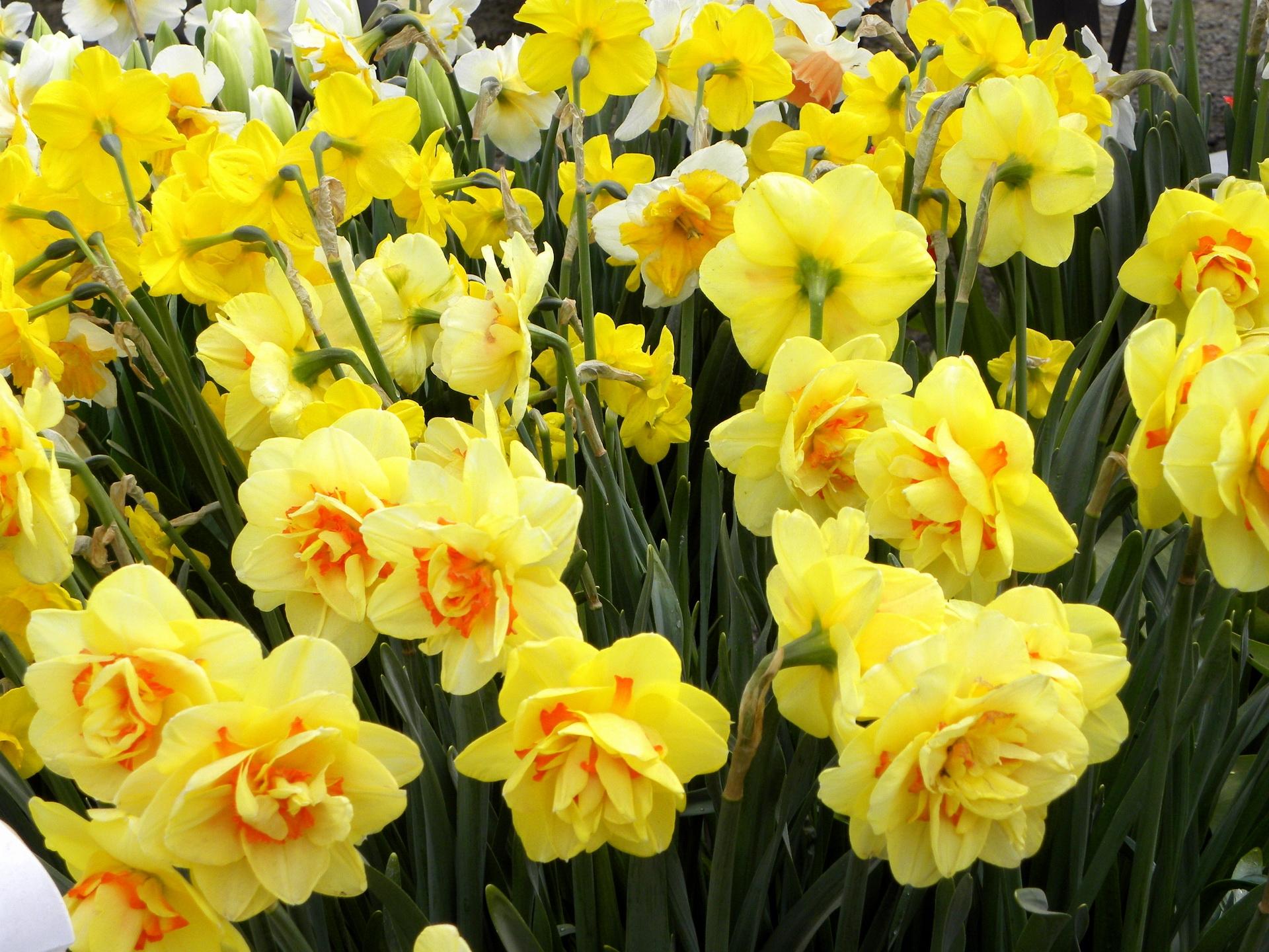 78833 Заставки и Обои Нарциссы на телефон. Скачать Цветы, Нарциссы, Зелень, Клумба, Весна картинки бесплатно