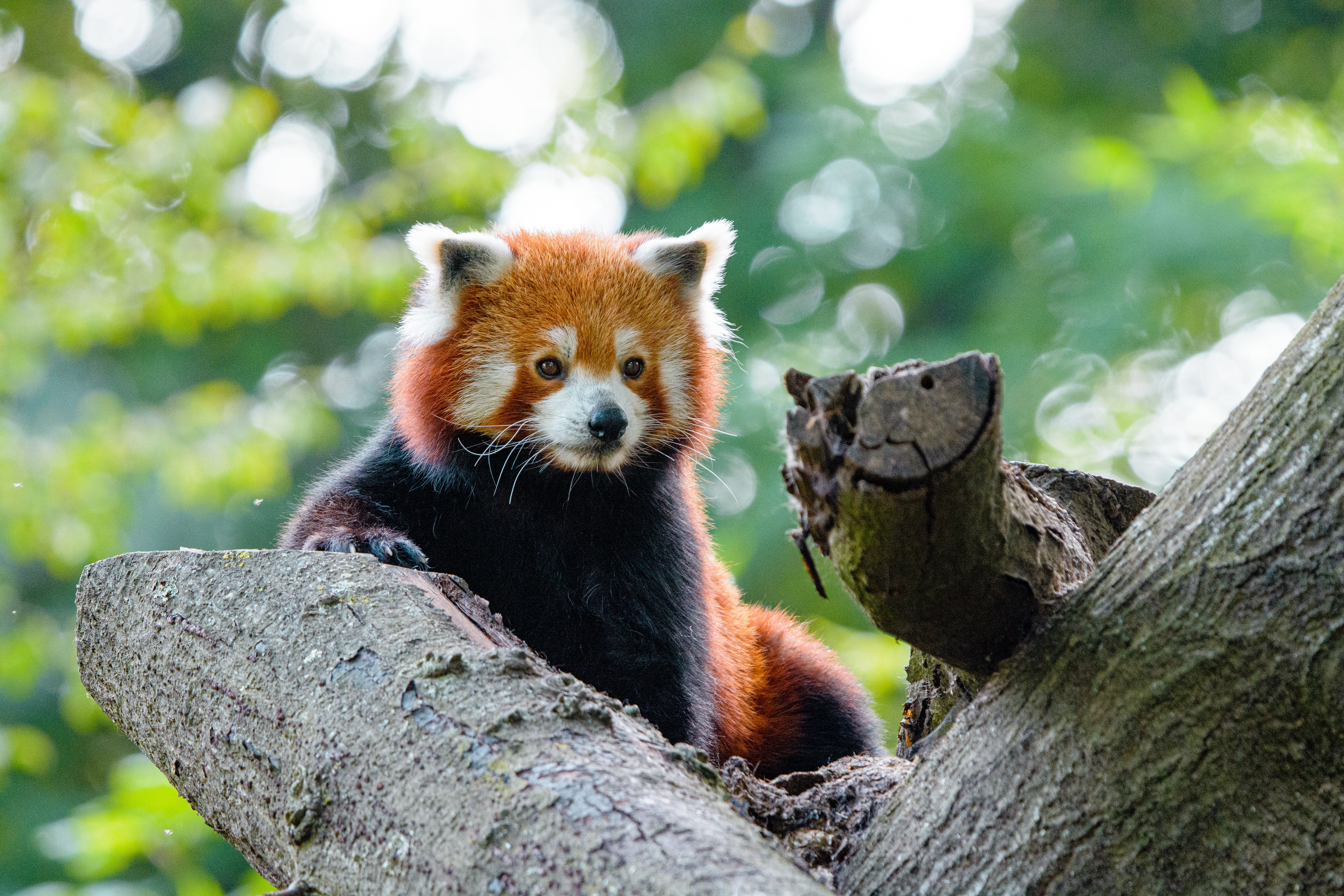77996 download wallpaper Animals, Red Panda, Nice, Sweetheart, Panda, Wood, Tree screensavers and pictures for free