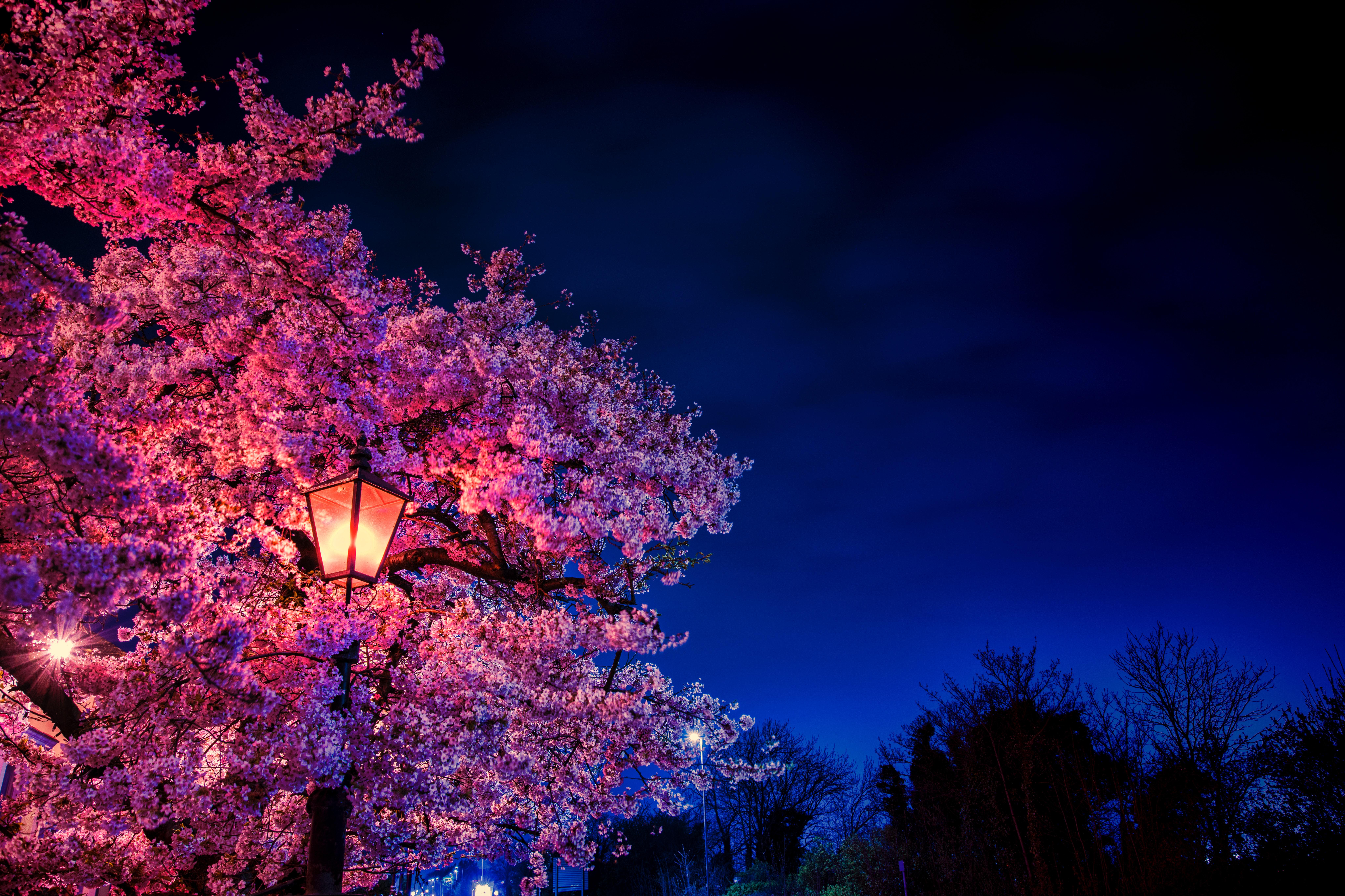 155481 Screensavers and Wallpapers Sakura for phone. Download Flowers, Sakura, Lamp, Lantern, Evening, Spring, Blooms pictures for free