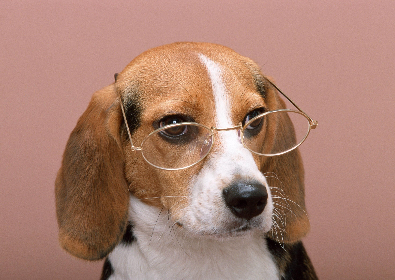 115371 скачать обои Животные, Собака, Очки, Розовый Фон - заставки и картинки бесплатно
