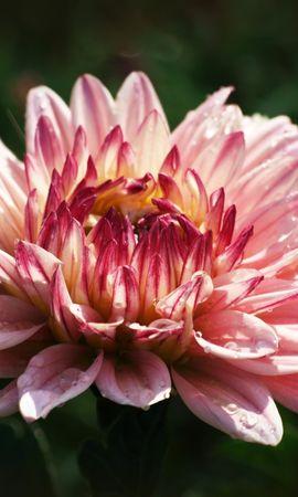 9818 скачать обои Растения, Цветы - заставки и картинки бесплатно
